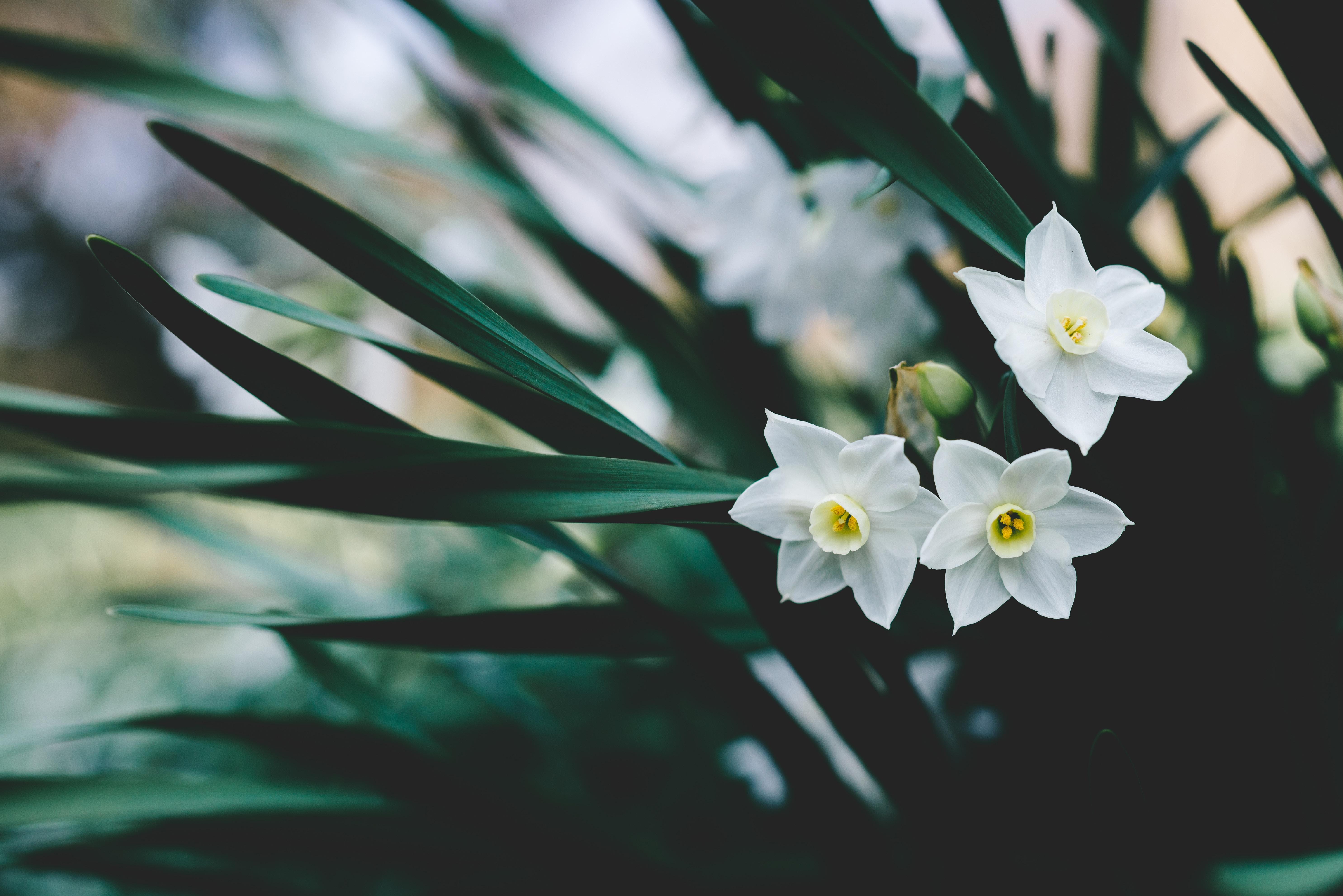 77038 Заставки и Обои Нарциссы на телефон. Скачать Цветы, Нарциссы, Размытость, Белый картинки бесплатно