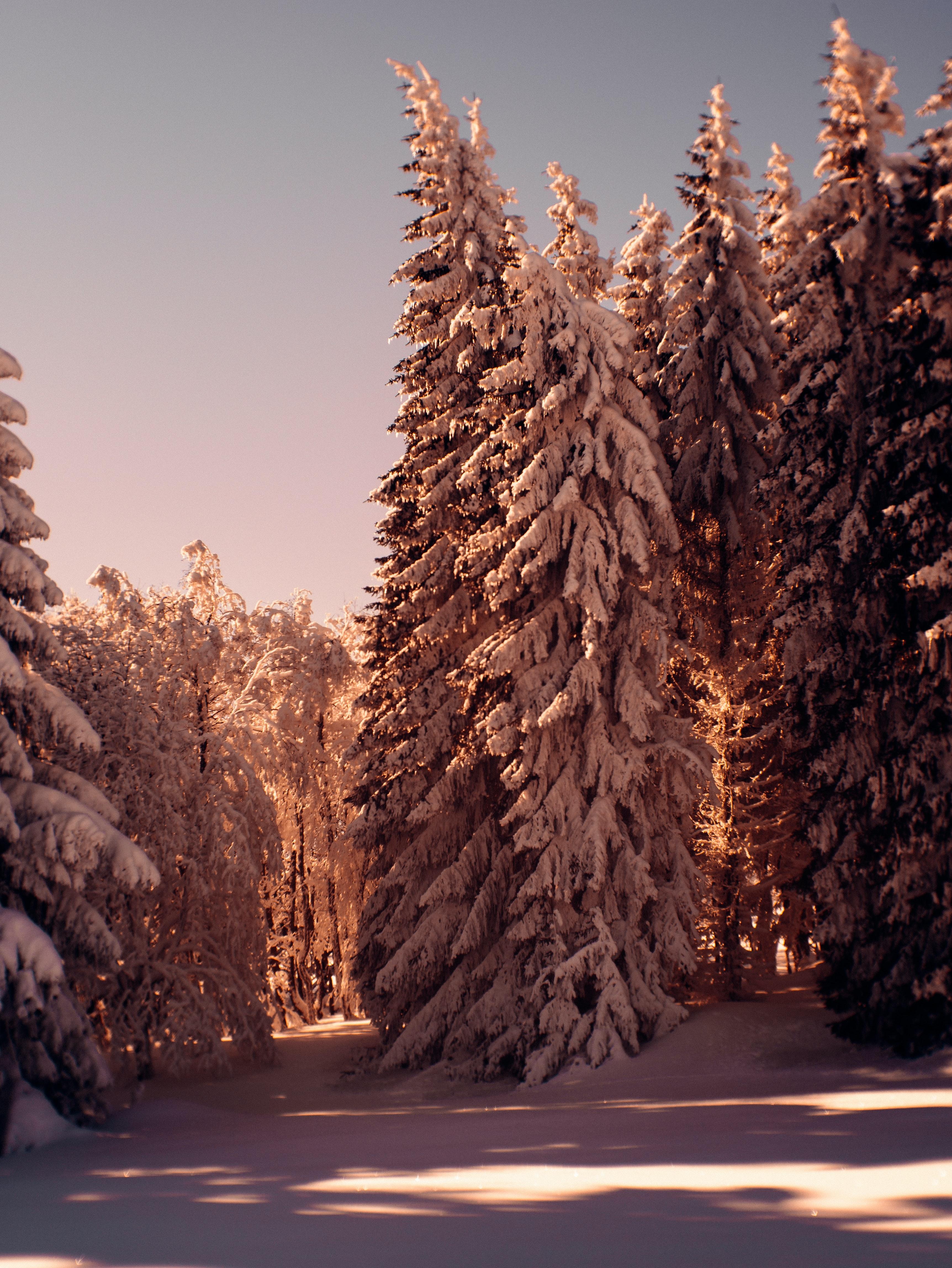 122859 fondo de pantalla 1920x1080 en tu teléfono gratis, descarga imágenes Bosque, Árboles, Nieve, Invierno, Naturaleza, Pino 1920x1080 en tu móvil