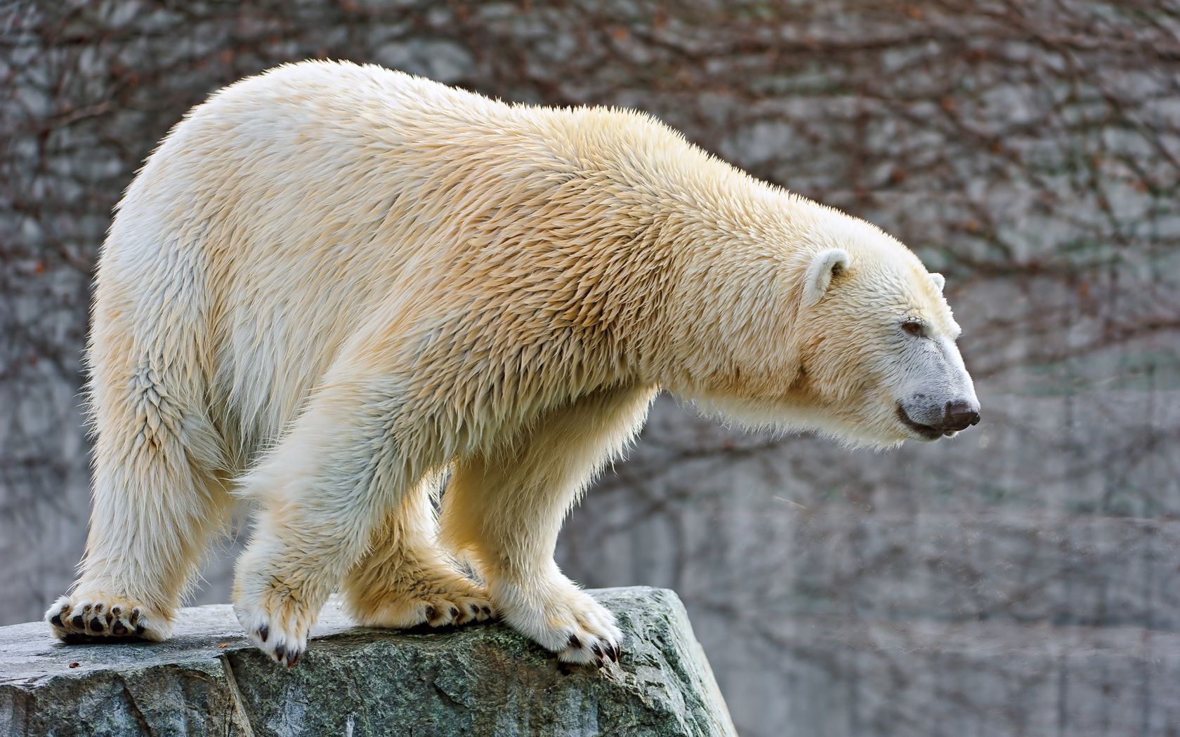 54152 Screensavers and Wallpapers Wool for phone. Download Animals, Large, Big, Wool, Polar Bear pictures for free