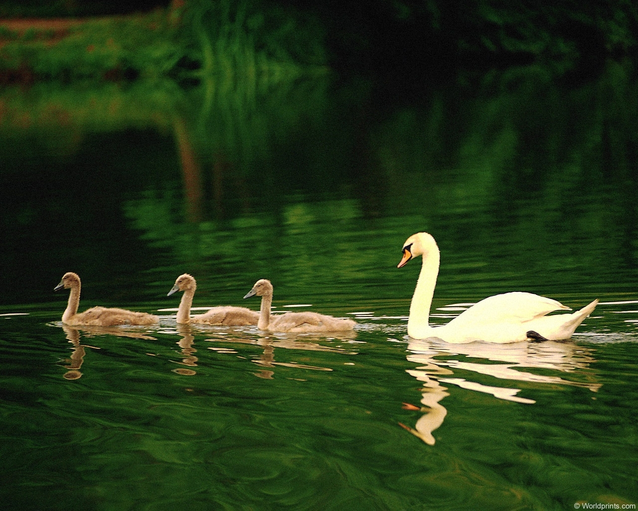 4588 download wallpaper Animals, Birds, Water, Swans screensavers and pictures for free