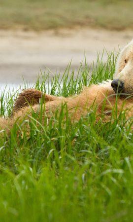 36128 baixar papel de parede Animais, Bears - protetores de tela e imagens gratuitamente