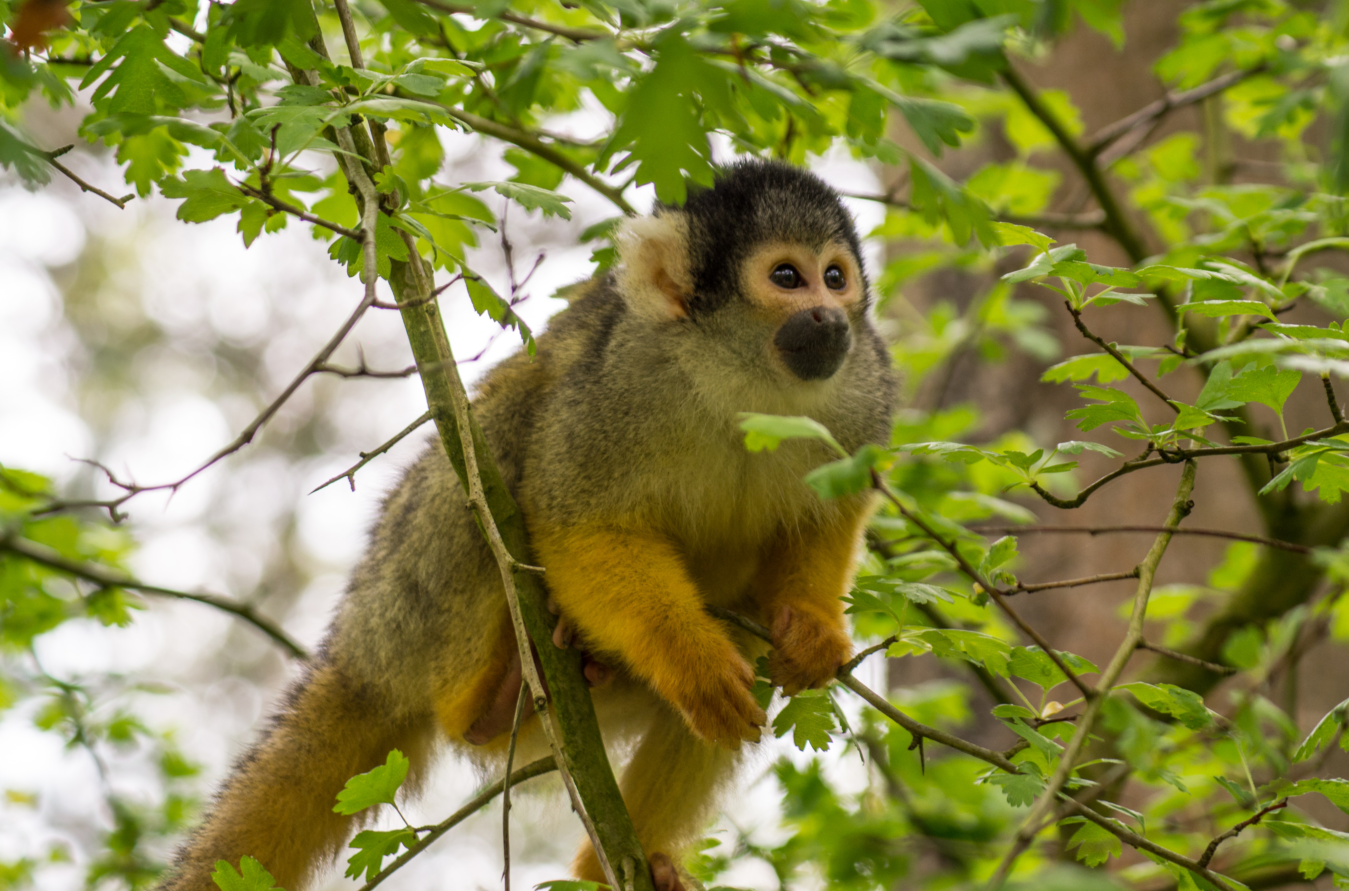 147549 download wallpaper Animals, Monkey, Marmoset, Animal, Nice, Sweetheart screensavers and pictures for free