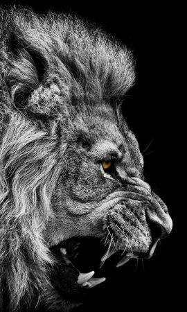 15676 baixe gratuitamente papéis de parede de Cinza para seu telefone, Animais, Fotografia Artística, Lions imagens e protetores de tela de Cinza para seu celular