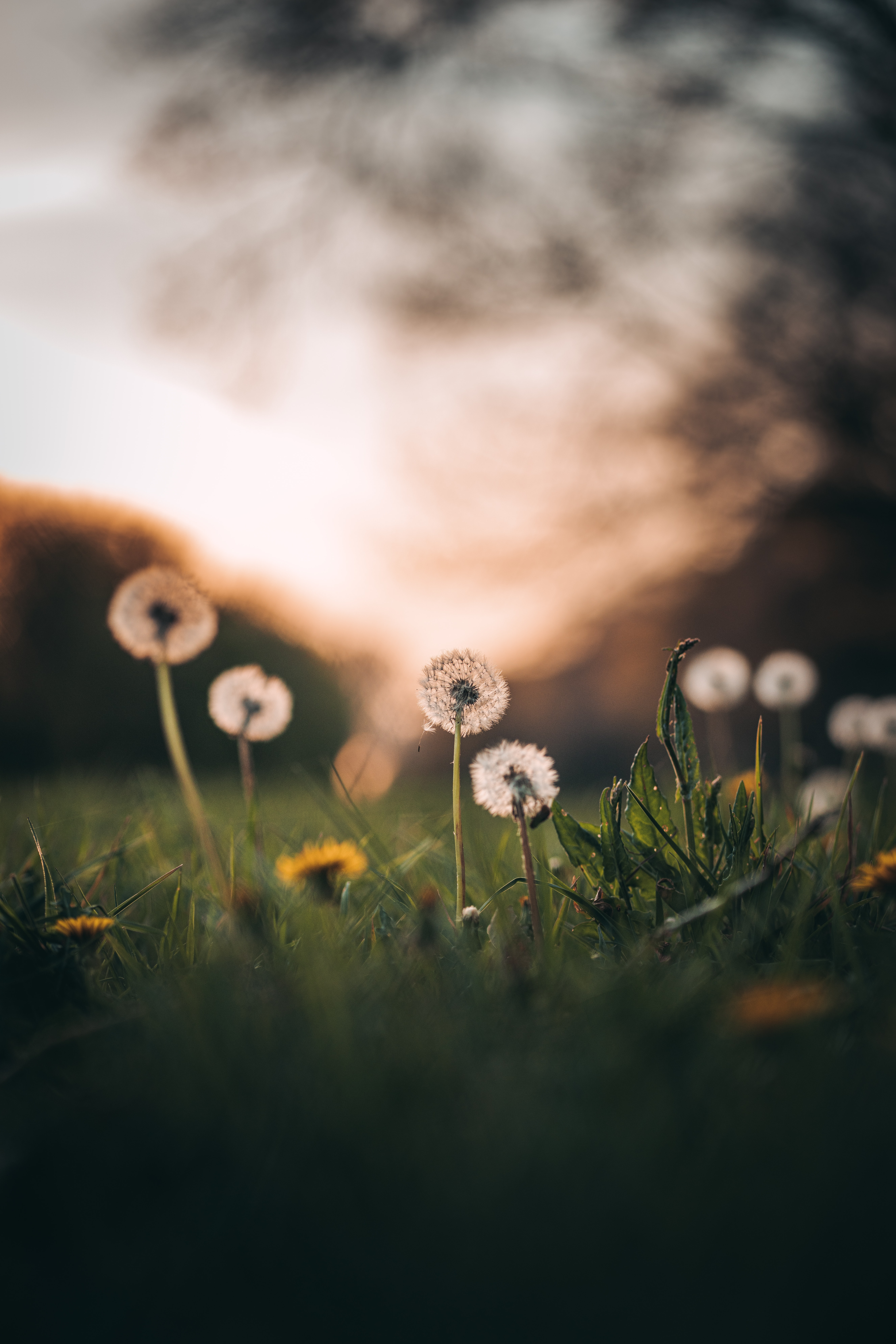 52414 download wallpaper Flowers, Grass, Dandelions, Macro screensavers and pictures for free