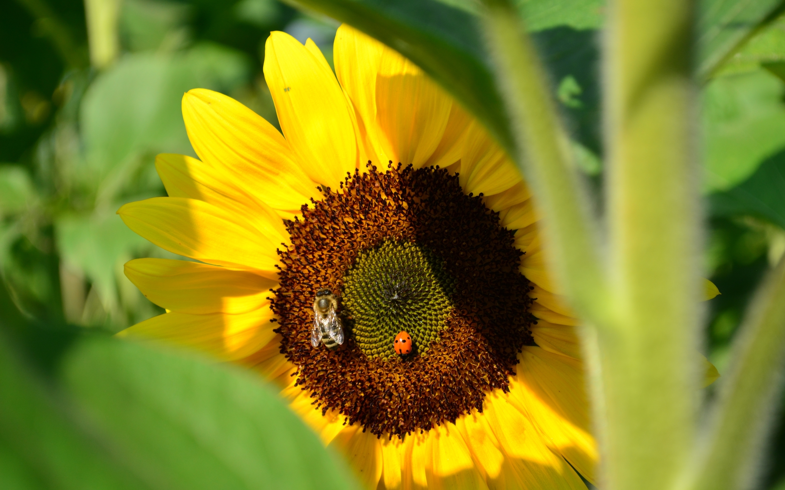 27540 Screensavers and Wallpapers Bees for phone. Download Plants, Flowers, Insects, Sunflowers, Bees, Ladybugs pictures for free