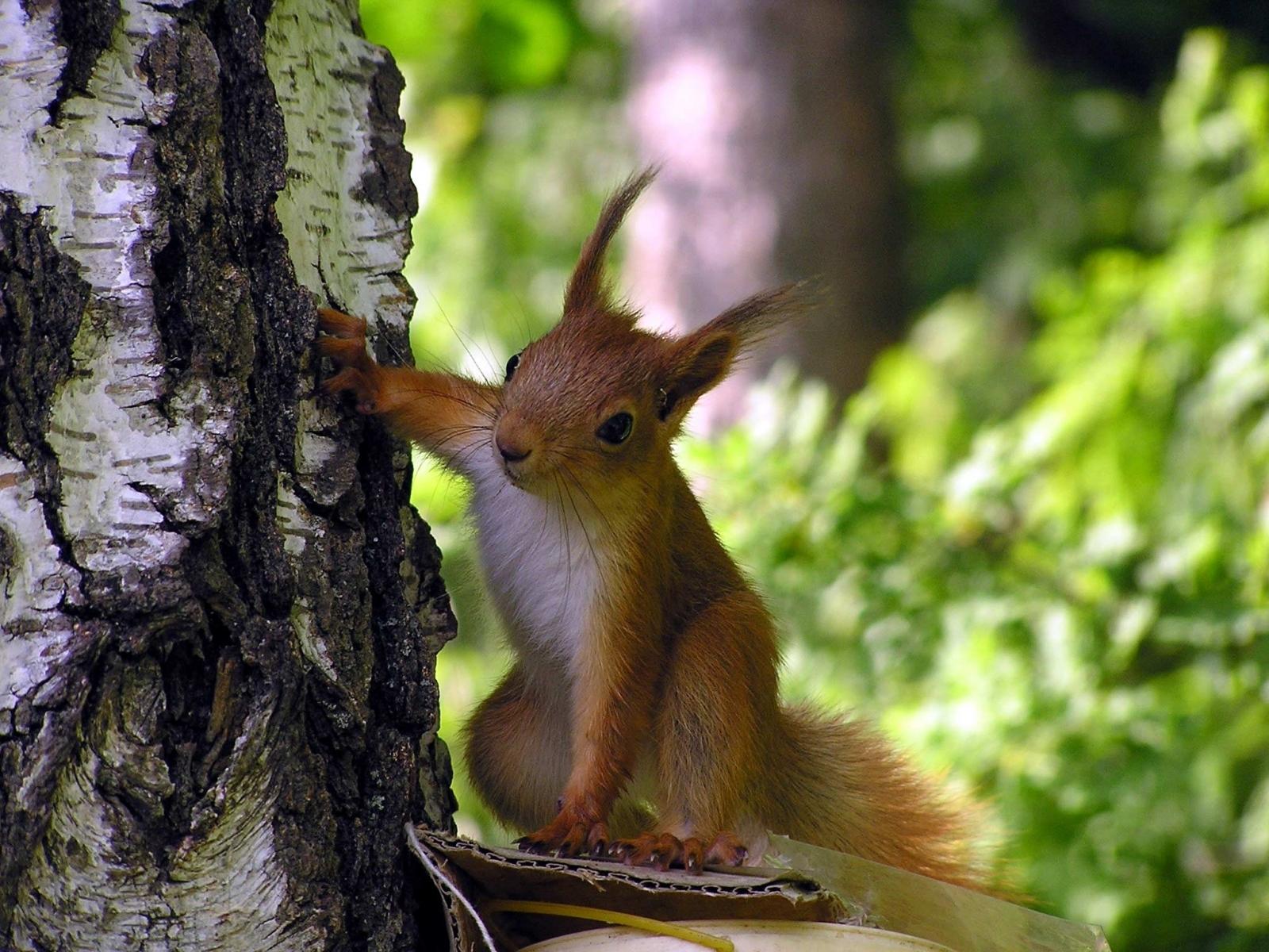2981 Hintergrundbild herunterladen Tiere, Eichhörnchen, Nagetiere - Bildschirmschoner und Bilder kostenlos