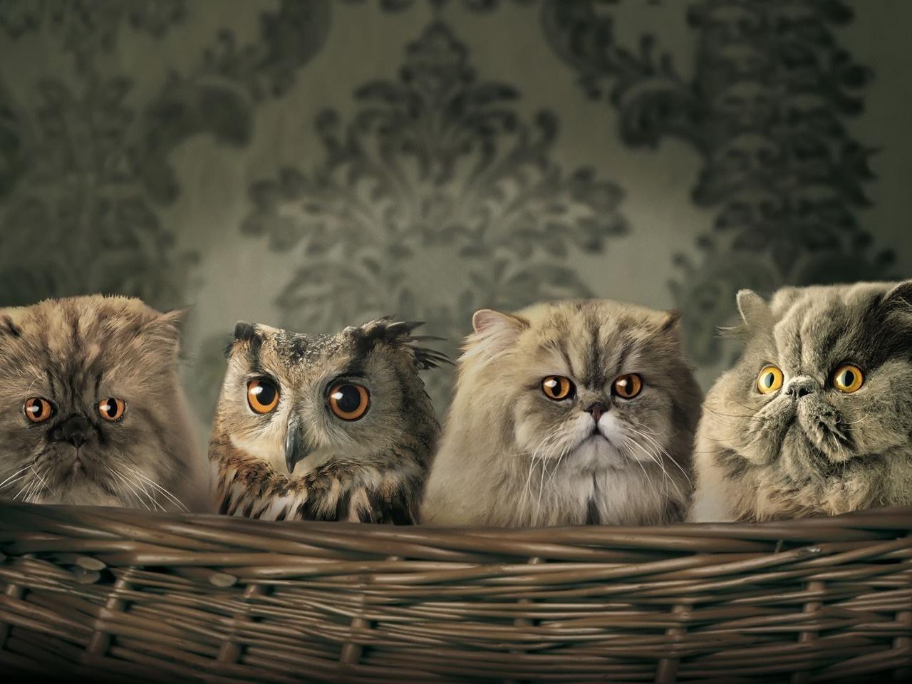 43713 скачать обои Совы, Животные, Кошки (Коты, Котики) - заставки и картинки бесплатно