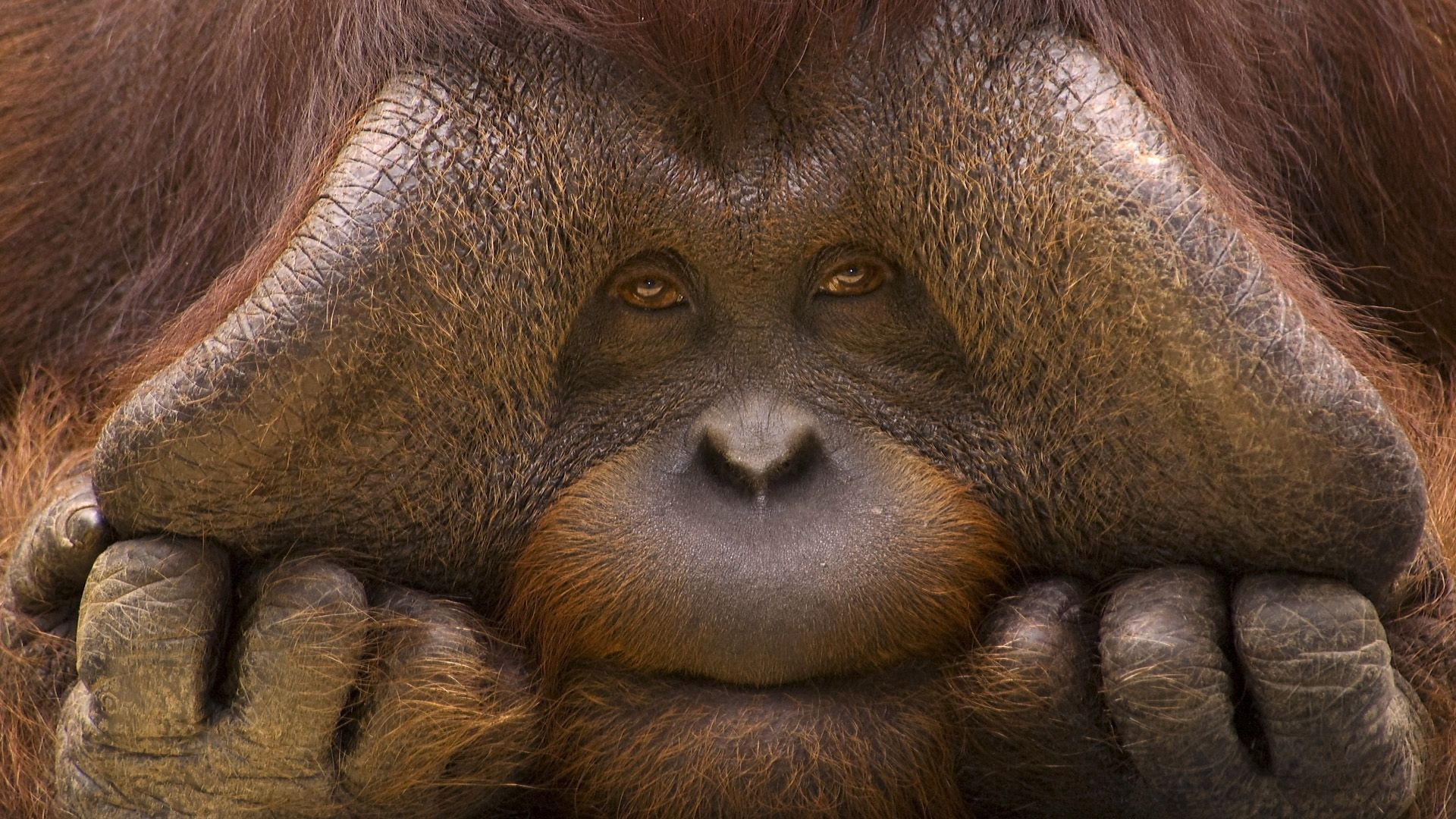 154299 download wallpaper Animals, Monkey, Muzzle, Hands, Wool screensavers and pictures for free