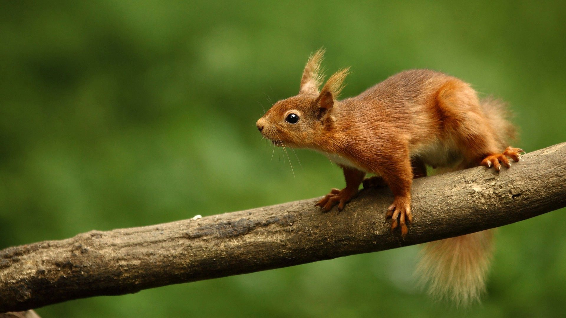 127851 Screensavers and Wallpapers Squirrel for phone. Download Animals, Squirrel, Animal, Curiosity pictures for free