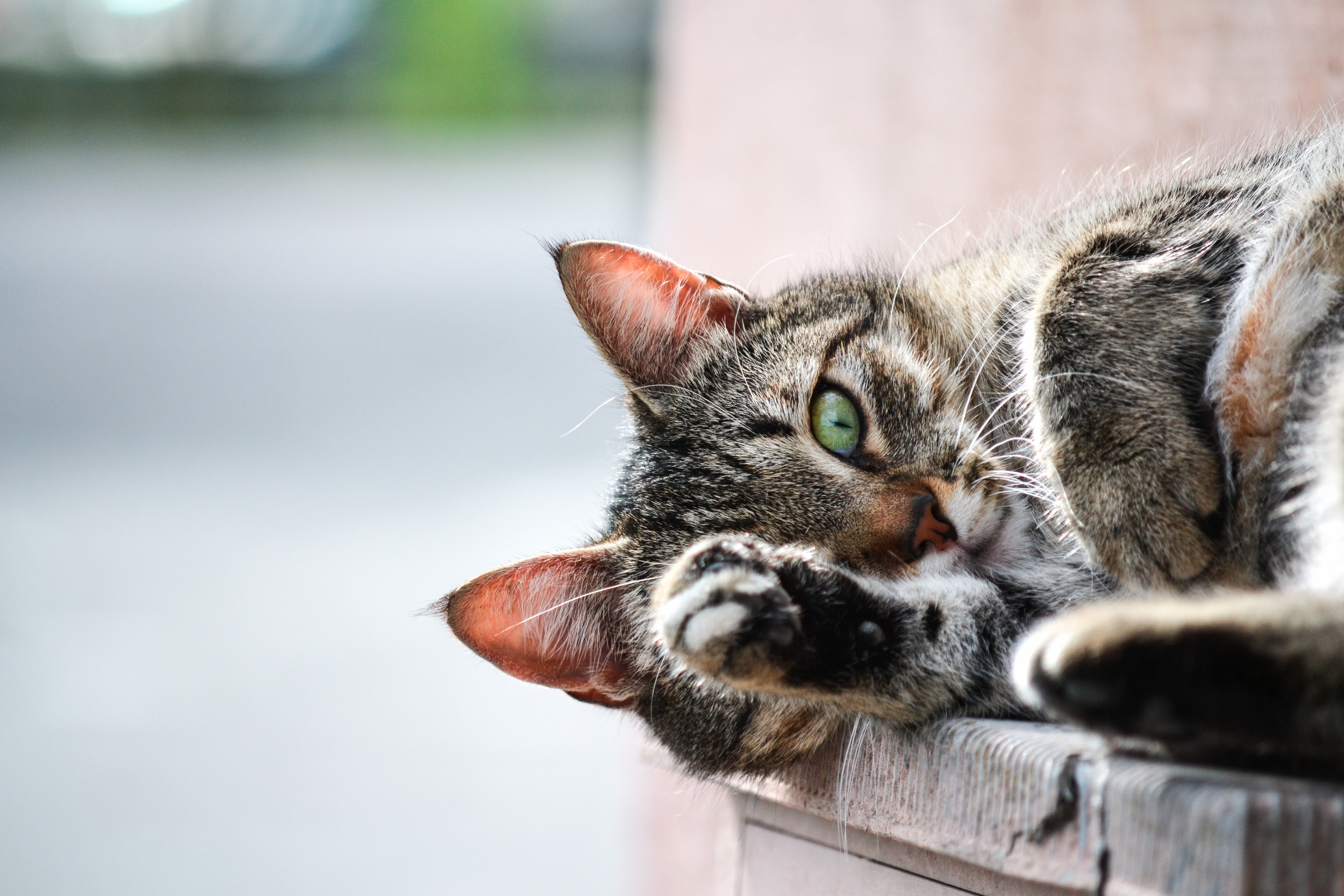 109461 download wallpaper Animals, Cat, Muzzle, Paw, Lies screensavers and pictures for free