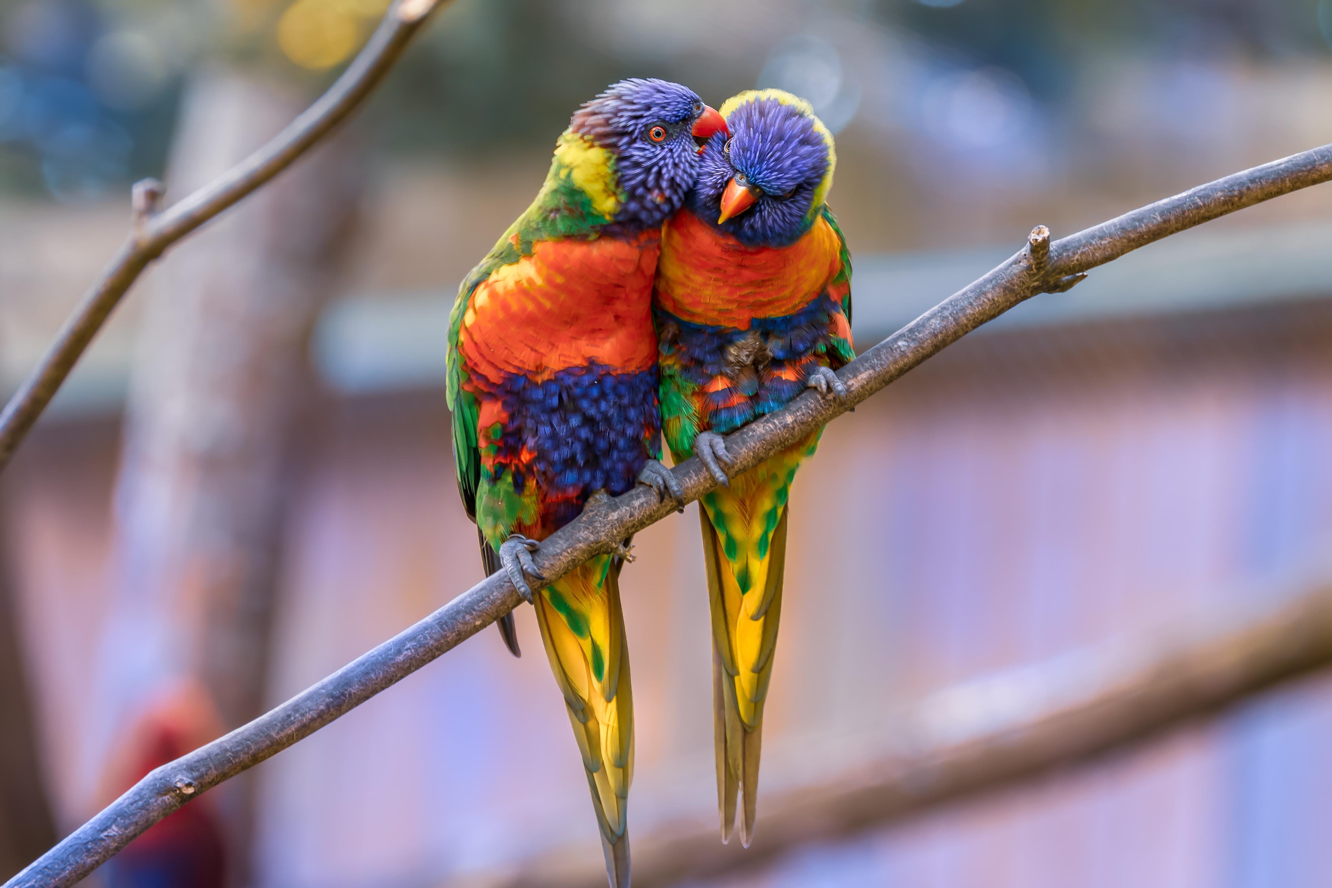 64940 Заставки и Обои Попугаи на телефон. Скачать Попугаи, Животные, Птицы, Пара, Нежность, Многоцветный Лорикет картинки бесплатно