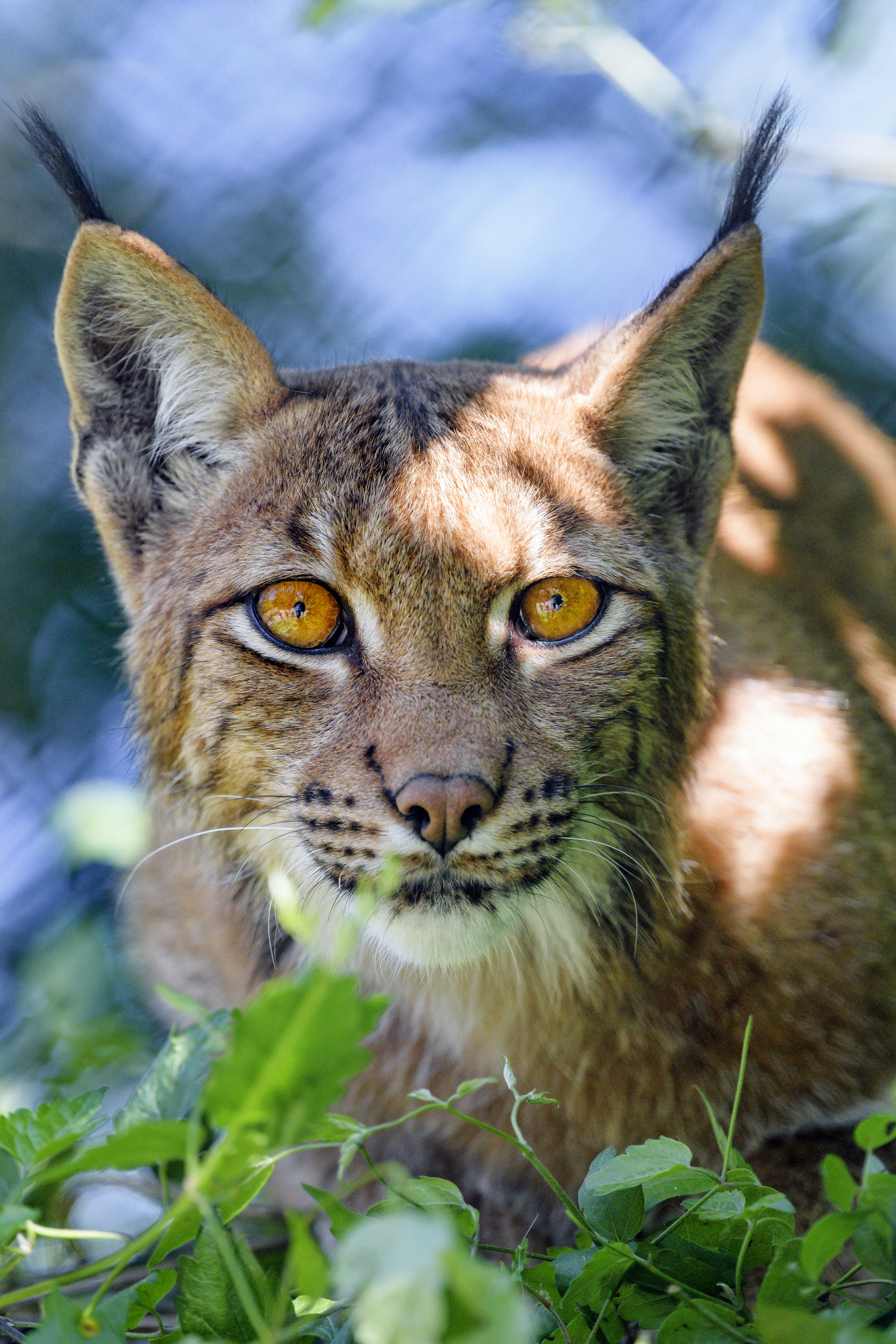 60732 download wallpaper Animals, Iris, Big Cat, Sight, Opinion, Animal, Muzzle, Plant screensavers and pictures for free