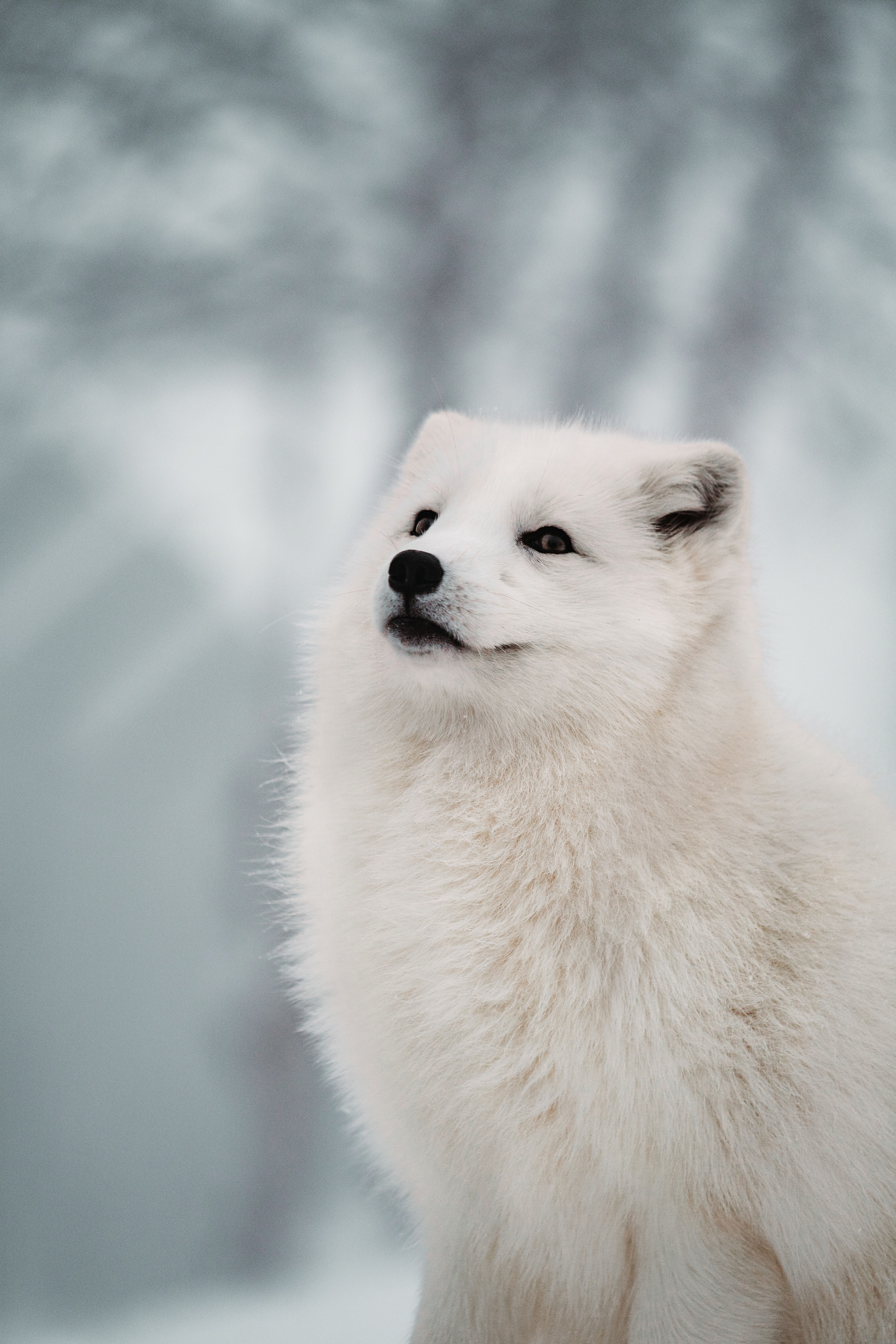 139234 Screensavers and Wallpapers Fox for phone. Download Animals, Fox, Muzzle, Arctic Fox pictures for free