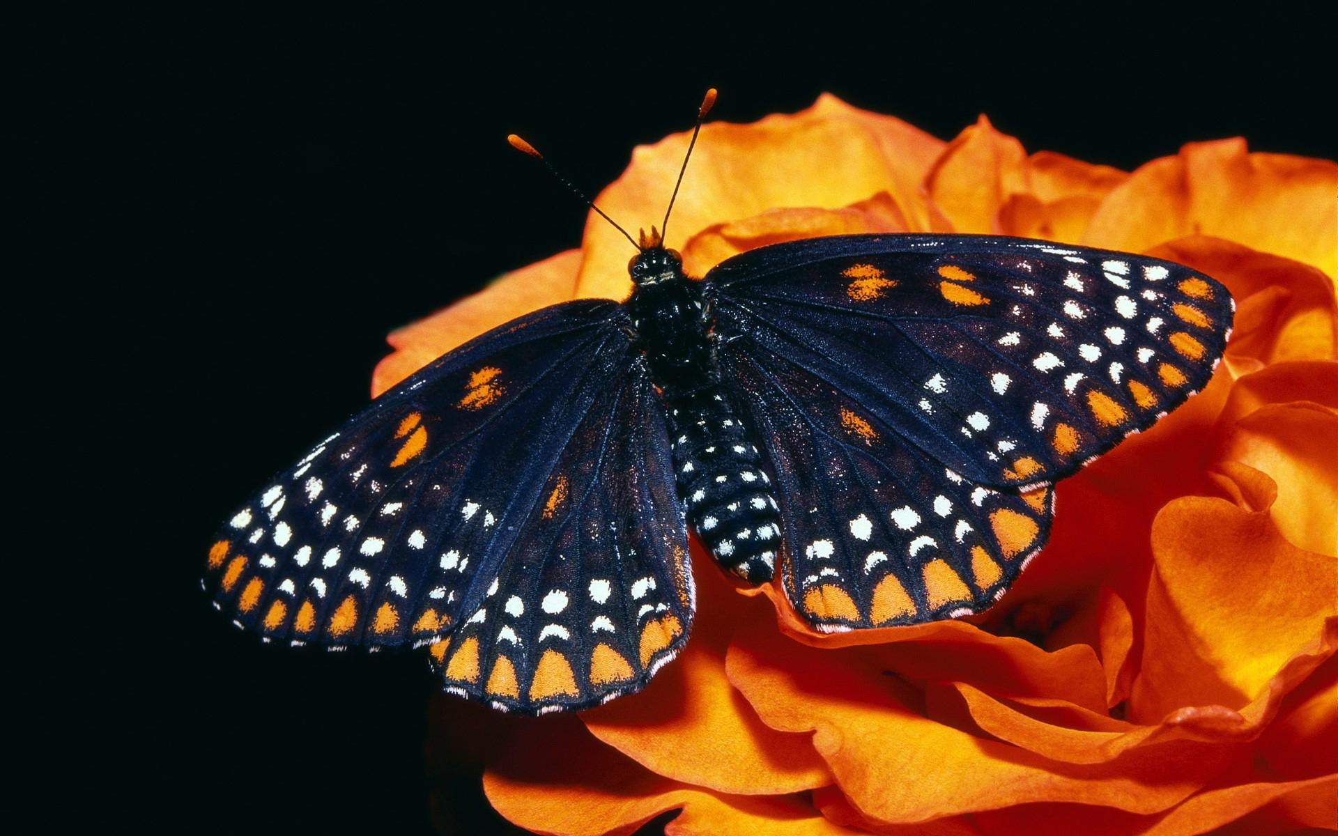 42402 descargar fondo de pantalla Mariposas, Insectos: protectores de pantalla e imágenes gratis