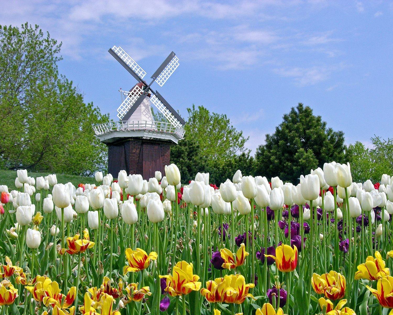 125601 descargar fondo de pantalla Flores, Naturaleza, Tulipanes, Campo, Molino: protectores de pantalla e imágenes gratis
