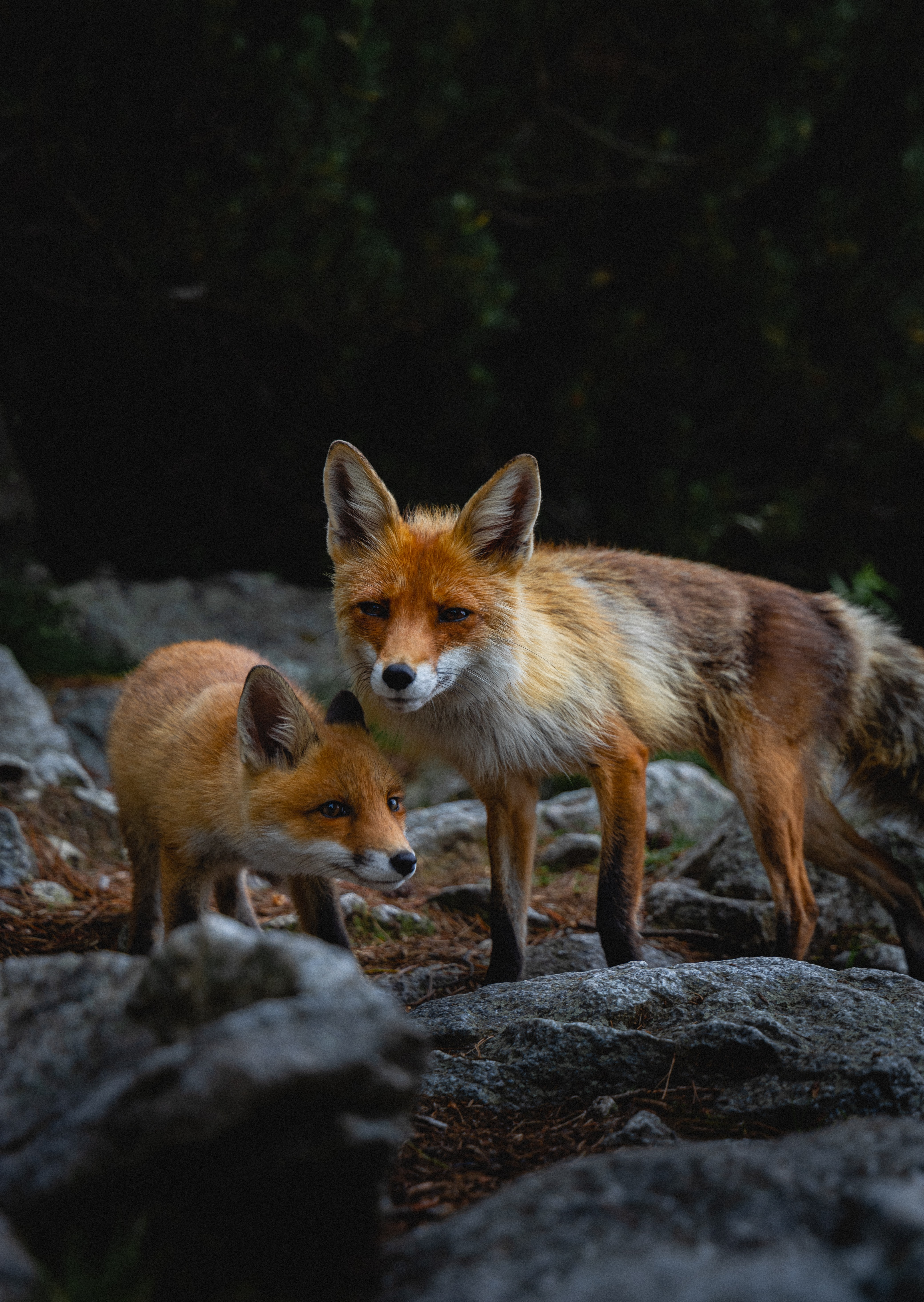 154164 download wallpaper Animals, Fox, Young, Joey, Predator, Animal, Stones screensavers and pictures for free