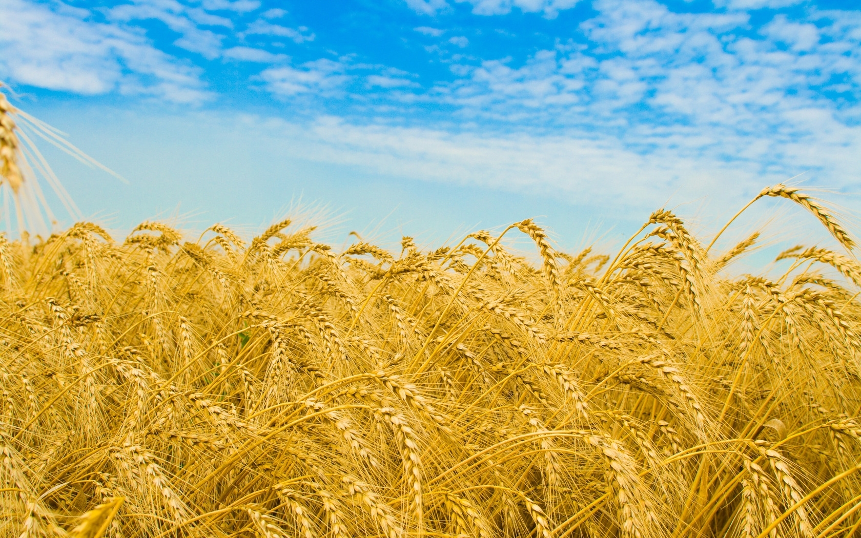 38604 скачать обои Пейзаж, Поля, Пшеница - заставки и картинки бесплатно