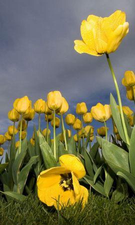 27669 скачать обои Растения, Цветы, Небо, Тюльпаны - заставки и картинки бесплатно