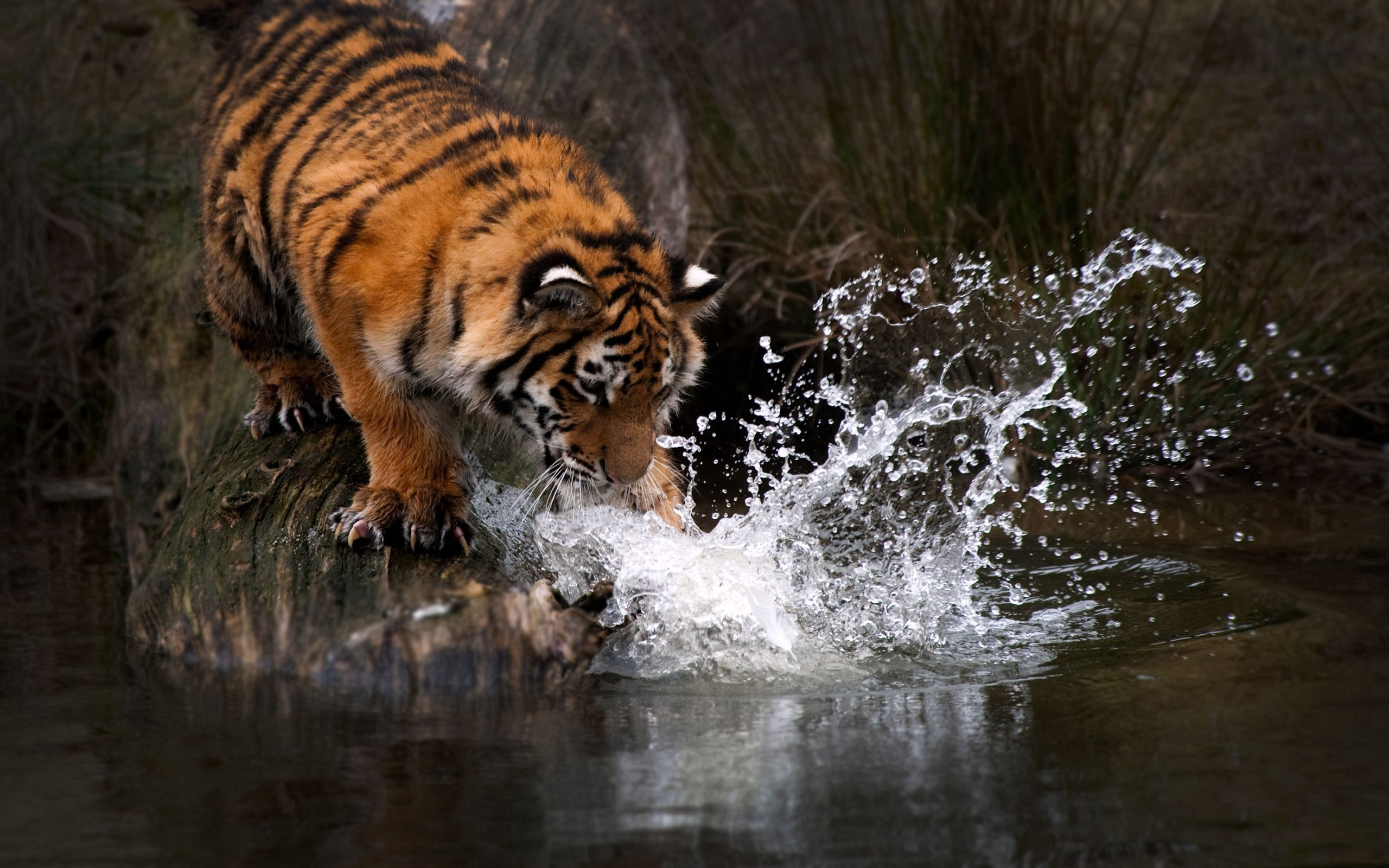 109941 download wallpaper Animals, Tiger, Water, Splash, Predator screensavers and pictures for free