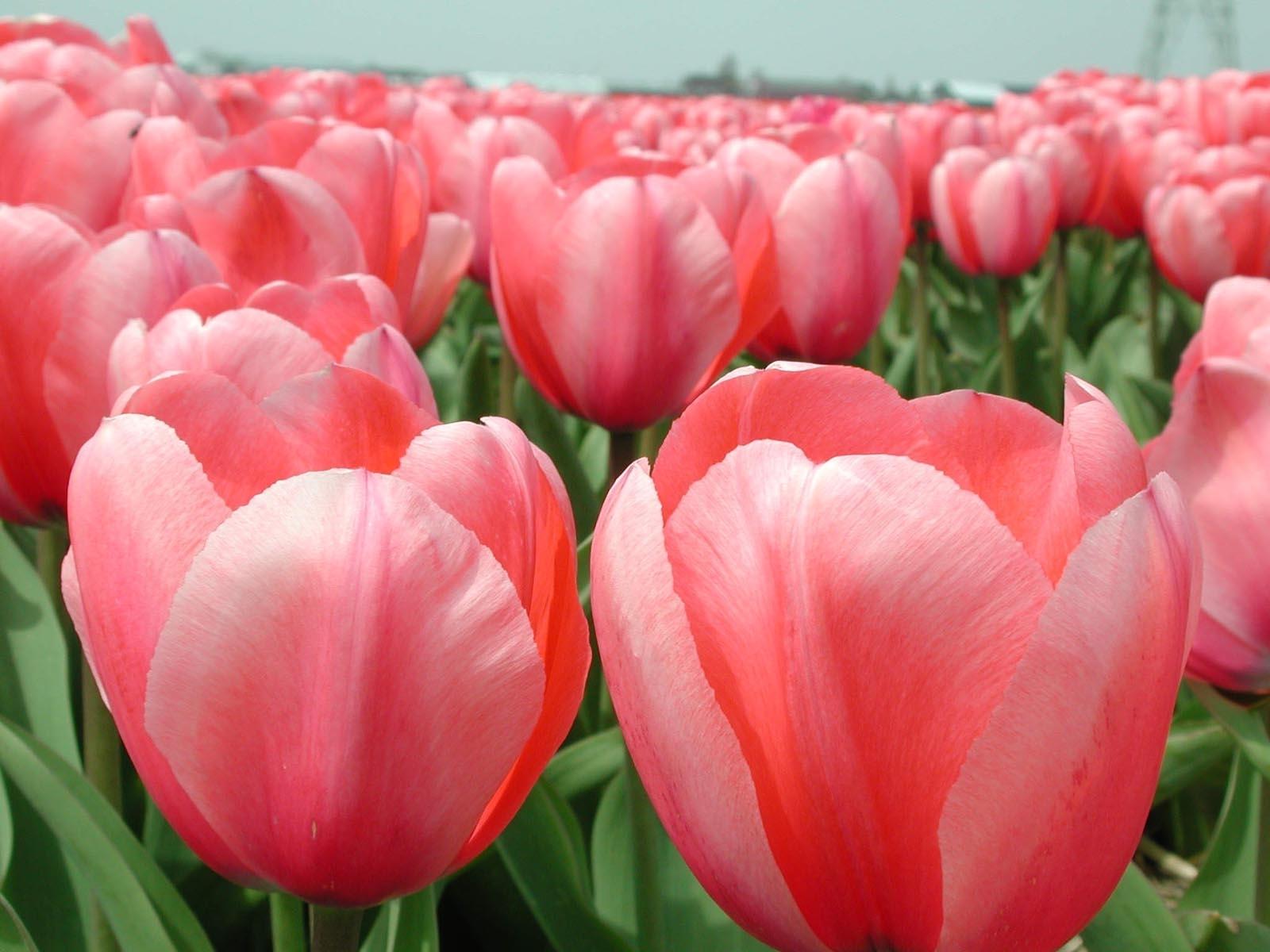 3137 скачать обои Растения, Цветы, Тюльпаны - заставки и картинки бесплатно
