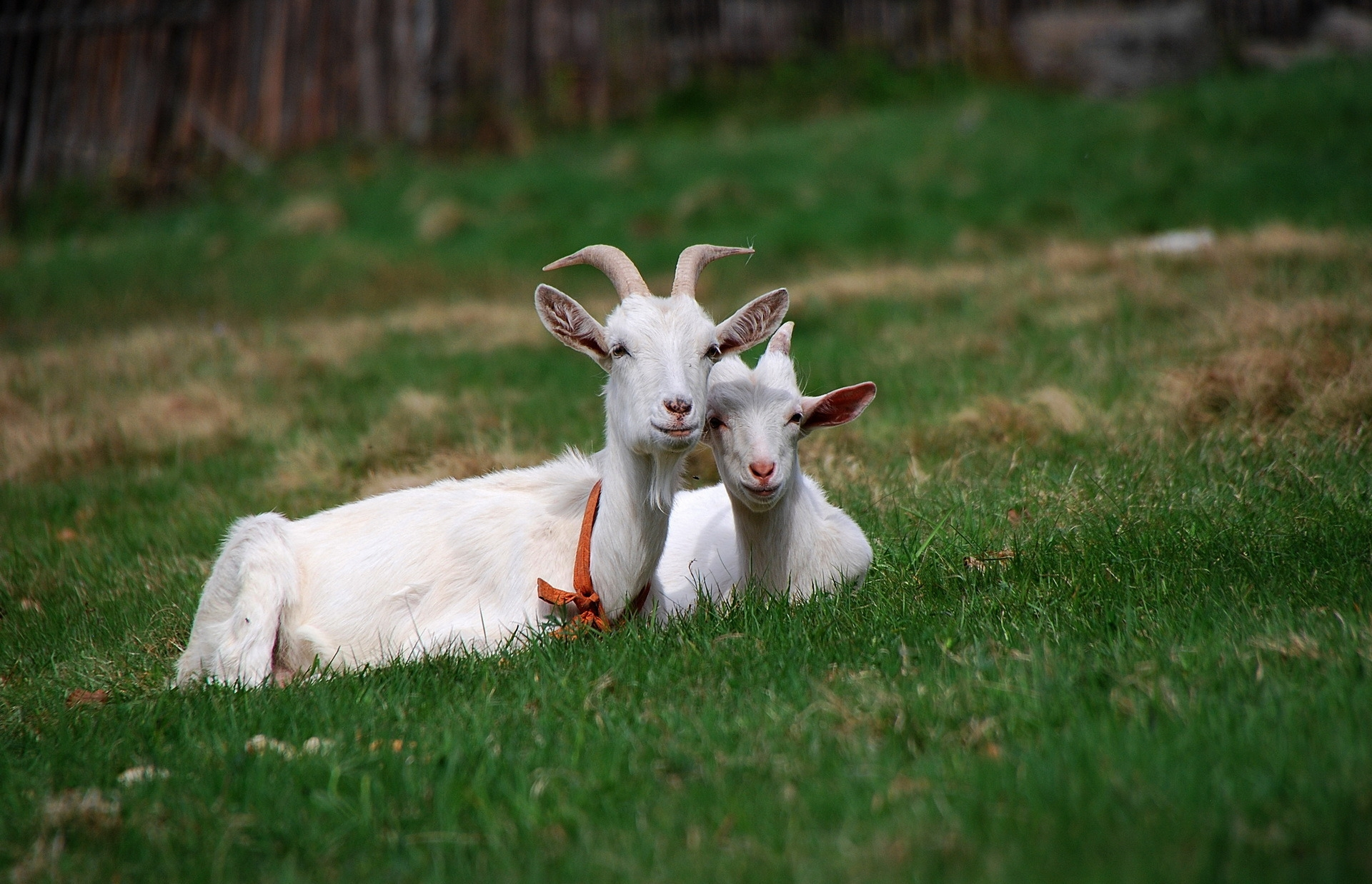 68313 download wallpaper Animals, Goats, Grass, Horns, Sit, Friends, Grazing, Pasture screensavers and pictures for free
