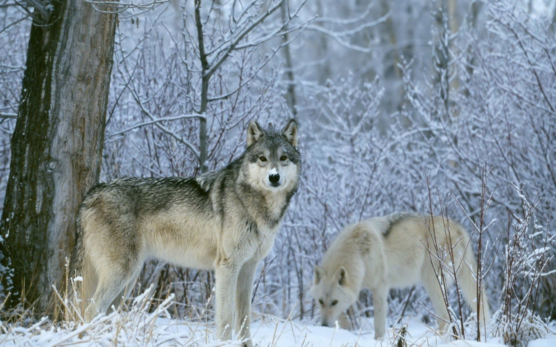 153419 download wallpaper Animals, Wolfs, Trees, Snow, Forest screensavers and pictures for free