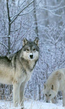 153419 завантажити шпалери Тварини, Вовки, Ліс, Сніг, Дерева - заставки і картинки безкоштовно