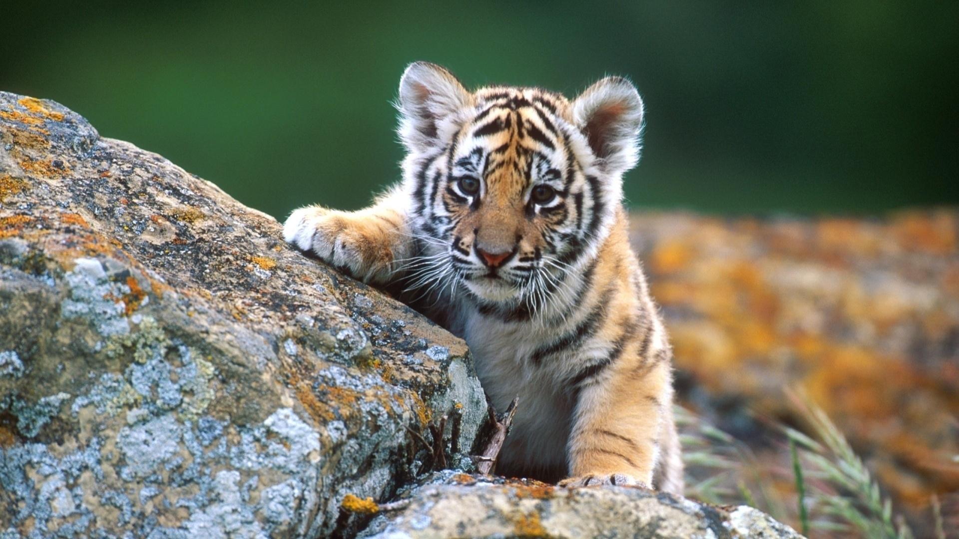 40509 скачать обои Животные, Тигры - заставки и картинки бесплатно