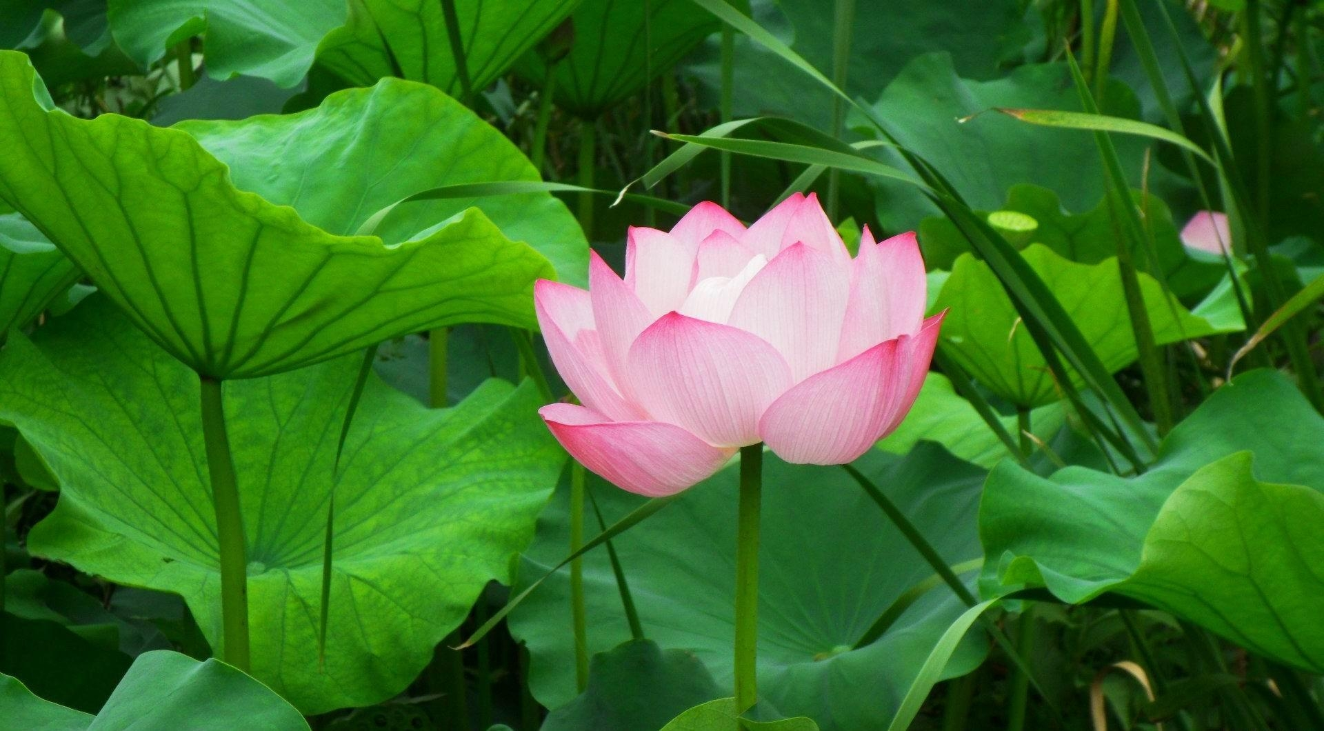 147284 download wallpaper Flowers, Lotus, Pink, Leaves, Greens screensavers and pictures for free