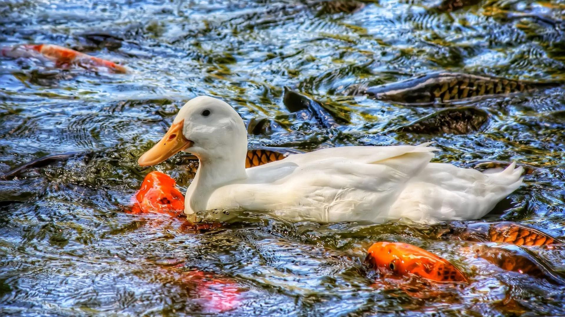 133299 download wallpaper Animals, Carp, Water, Basin, Duck, Fishes screensavers and pictures for free