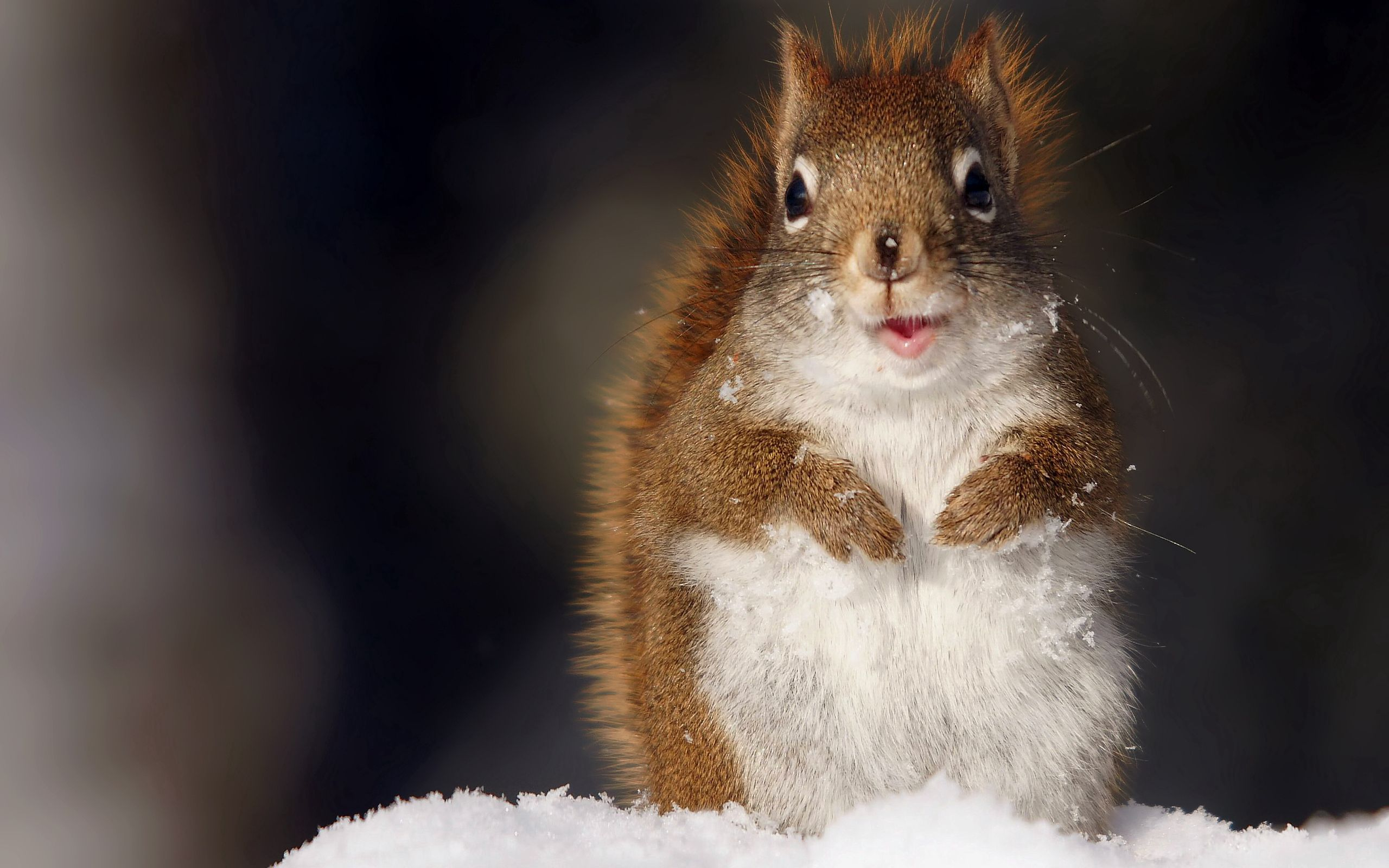 112979 Screensavers and Wallpapers Squirrel for phone. Download Animals, Squirrel, Snow, Fluffy, Muzzle pictures for free