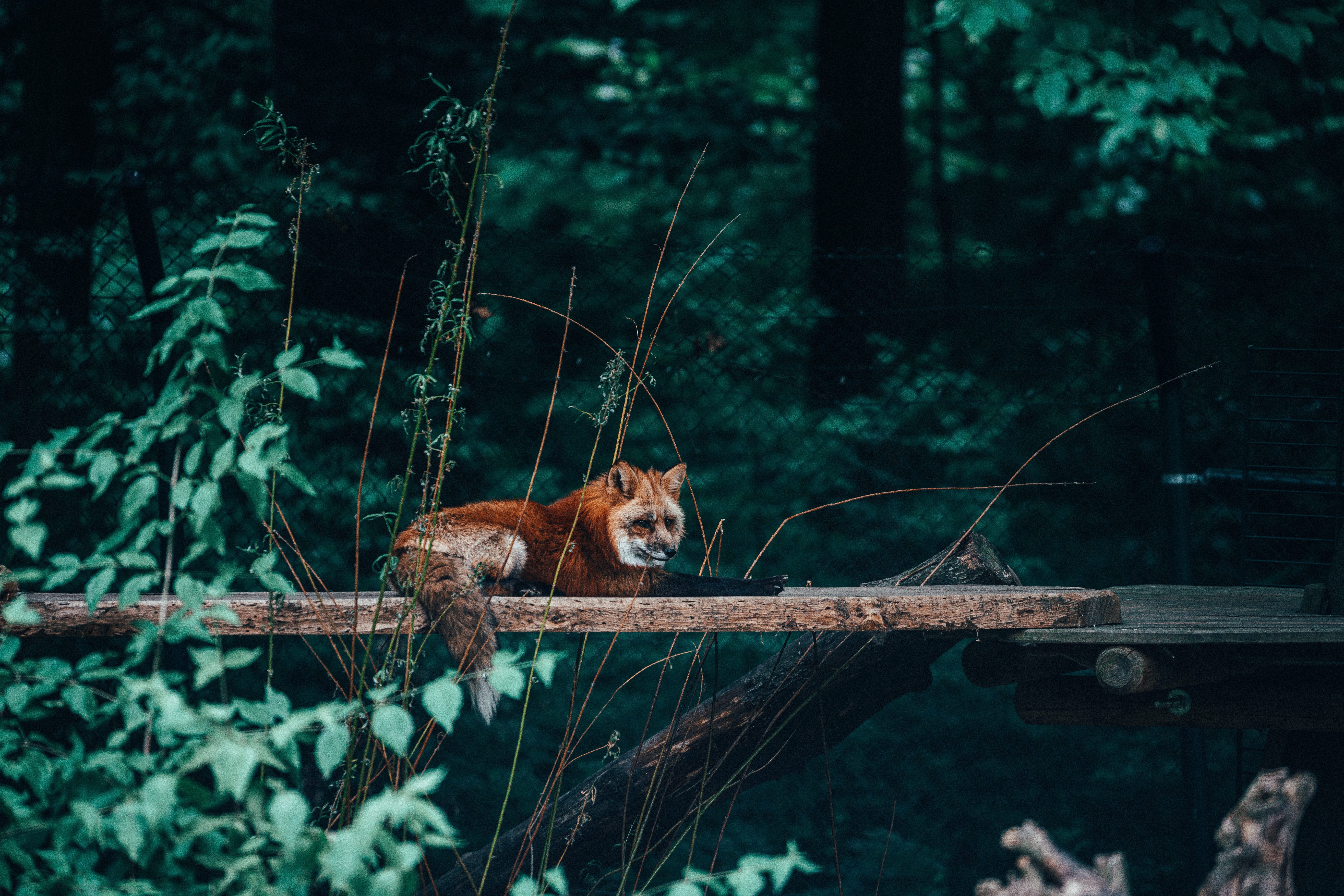 95478 Screensavers and Wallpapers Nice for phone. Download Animals, Fox, Animal, Nice, Sweetheart, Beast, Wild pictures for free