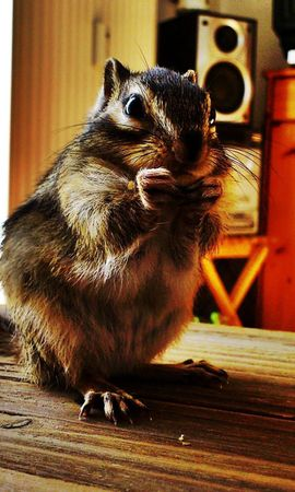 157046 download wallpaper Animals, Chipmunk, Room, Table, Sit, Striped screensavers and pictures for free