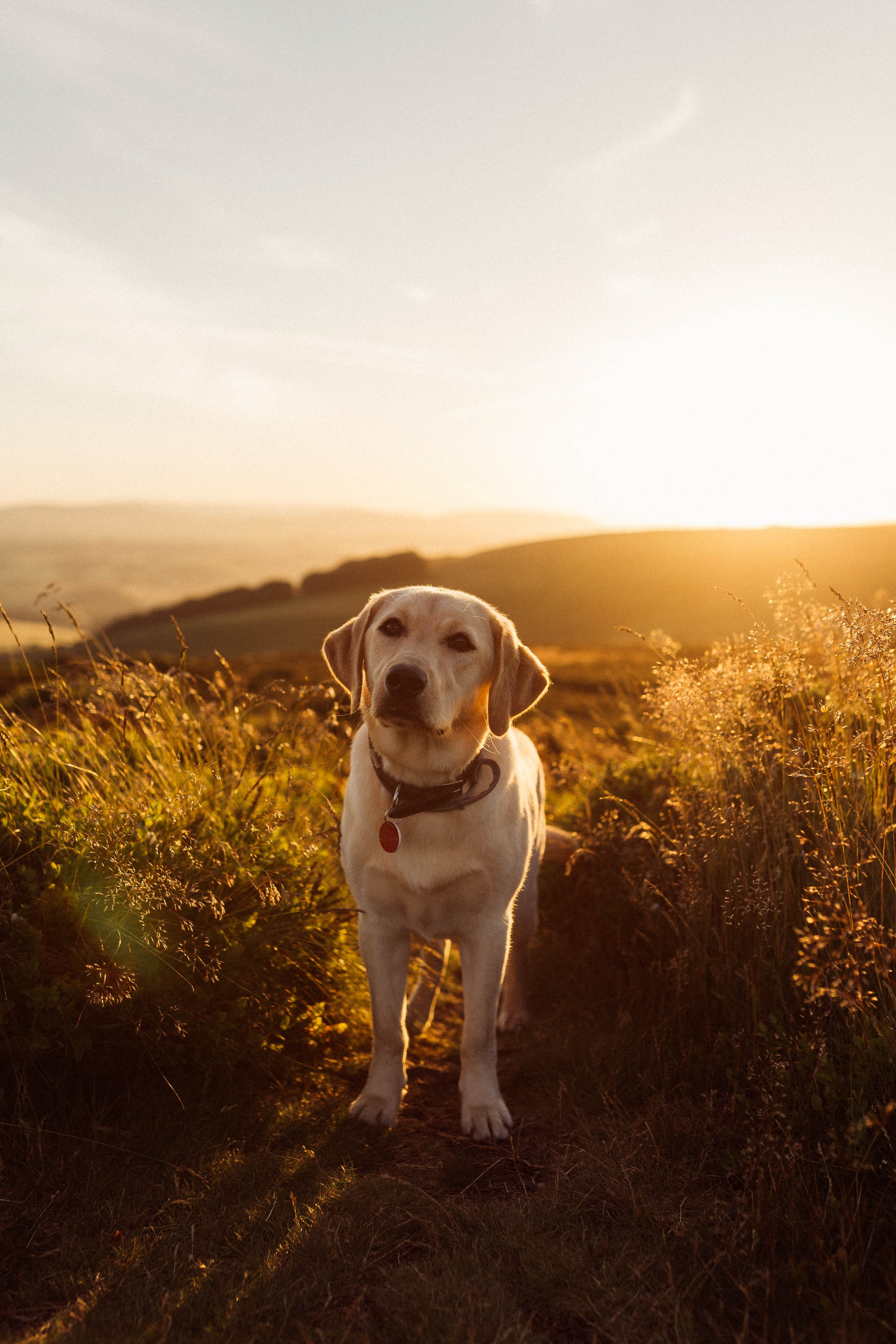 153190 download wallpaper Animals, Labrador, Dog, Grass, Sunset screensavers and pictures for free