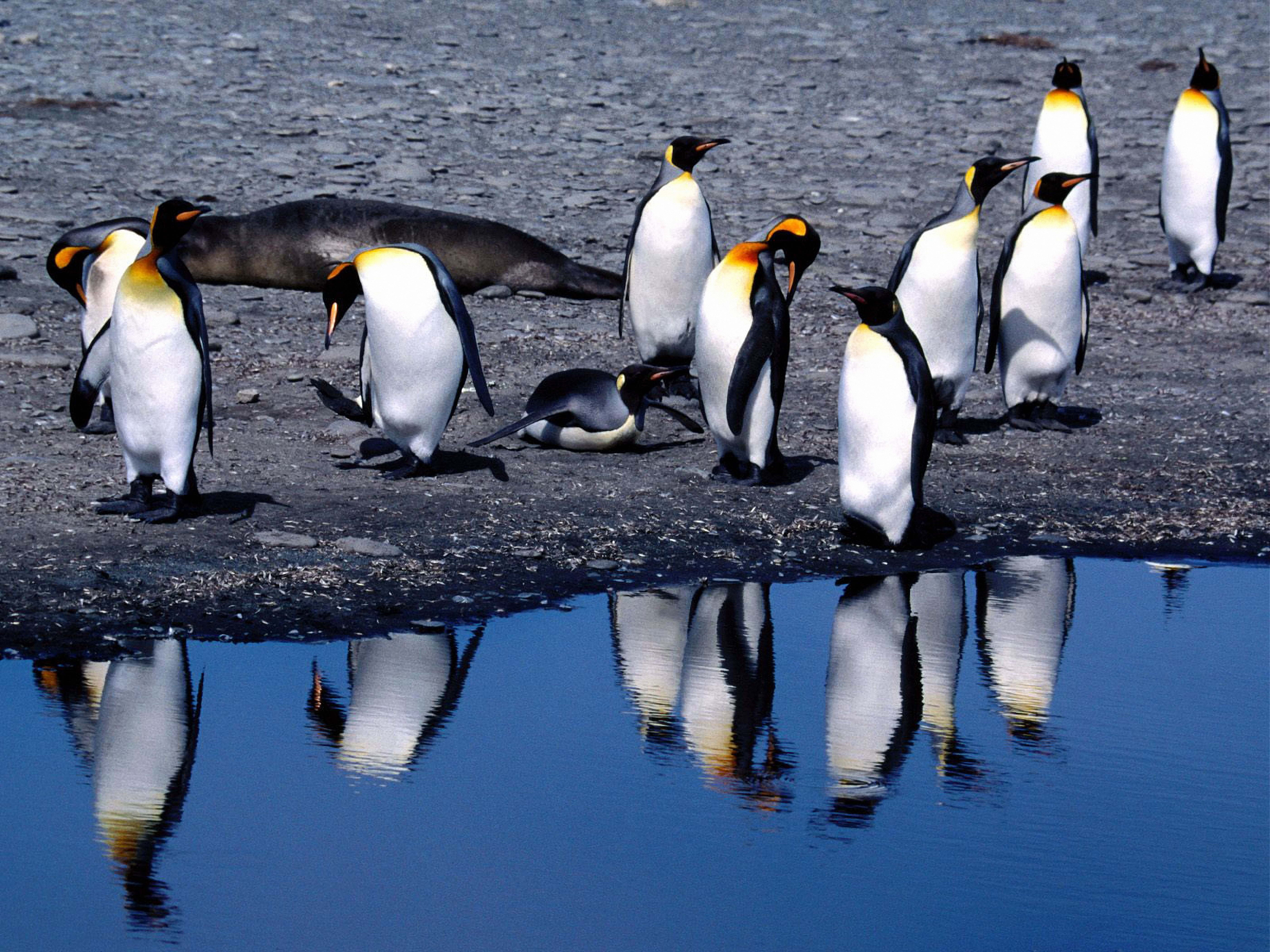 134203 download wallpaper Animals, Pinguins, Summer, Thaw screensavers and pictures for free
