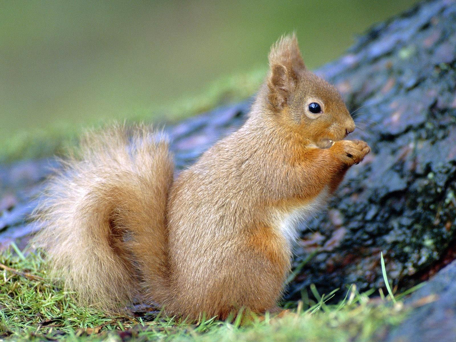 320 Hintergrundbild herunterladen Tiere, Eichhörnchen, Nagetiere - Bildschirmschoner und Bilder kostenlos