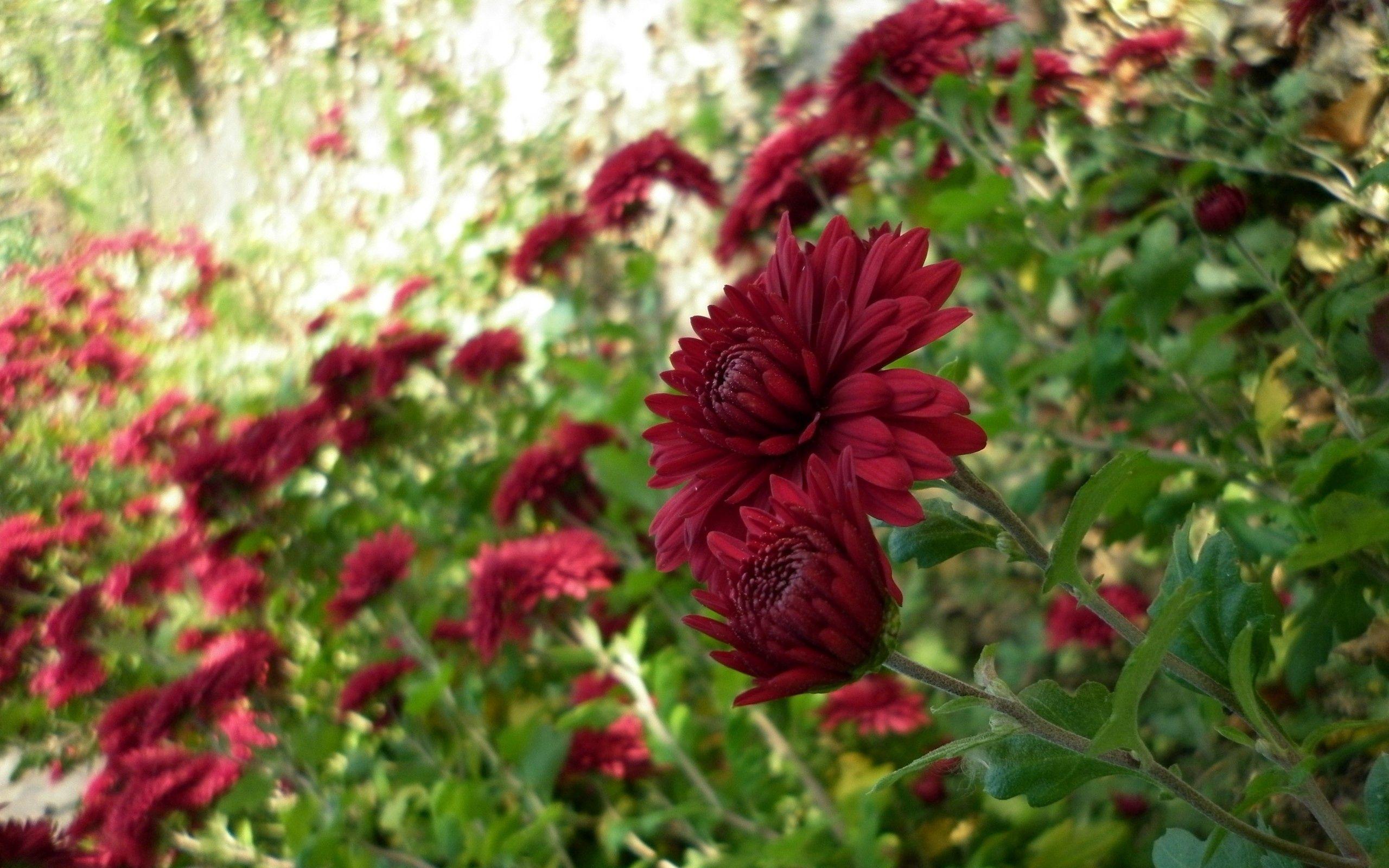 128243 скачать обои Цветы, Клумба, Сад, Зелень, Размытость, Хризантемы - заставки и картинки бесплатно