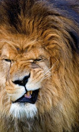 107685 download wallpaper Animals, Lion, Grin, Aggression, Muzzle, Mane, Predator, King Of Beasts, King Of The Beasts, Big Cat screensavers and pictures for free