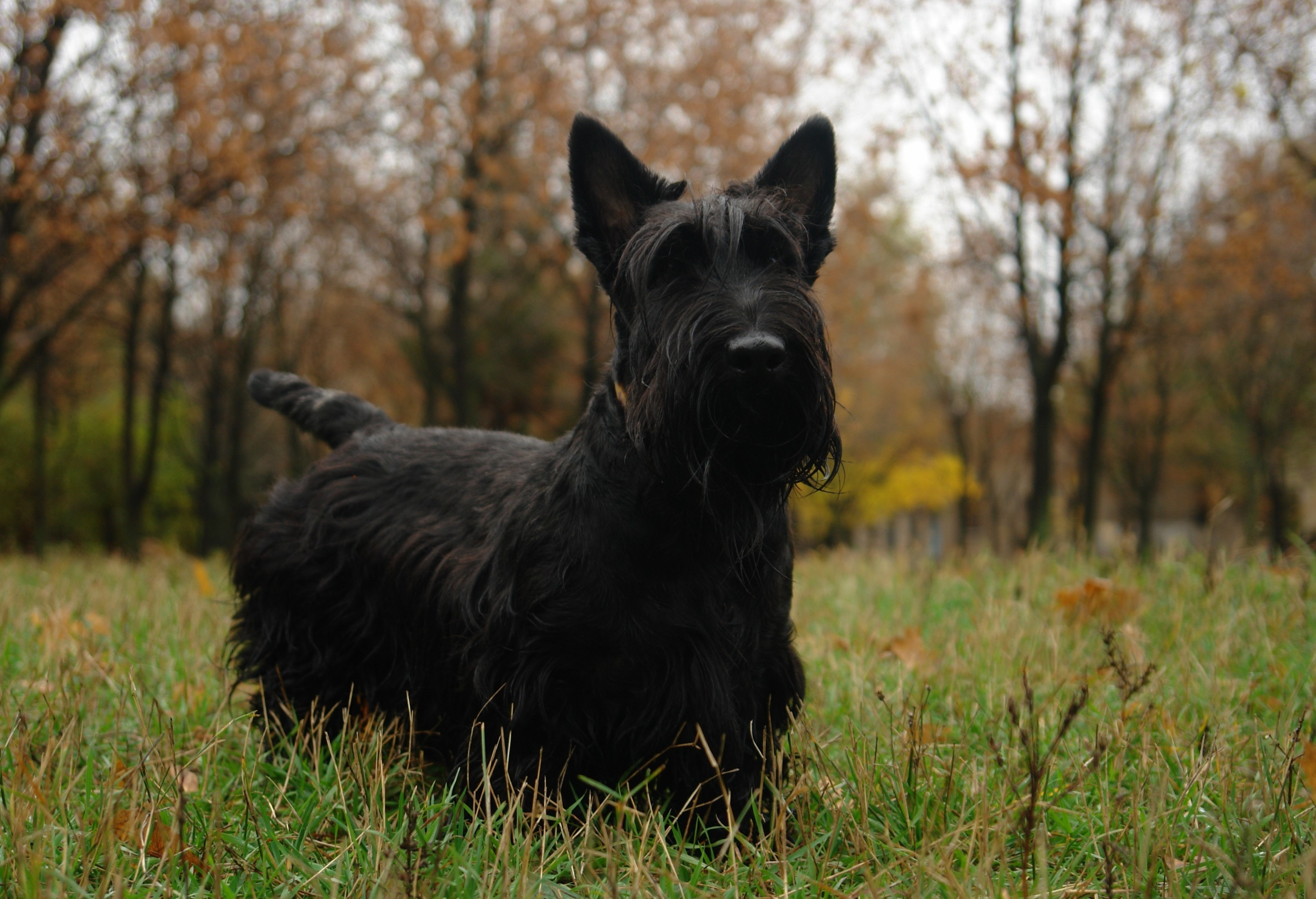 141258 download wallpaper Animals, Scotch Terrier, Grass, Dog, Stroll screensavers and pictures for free