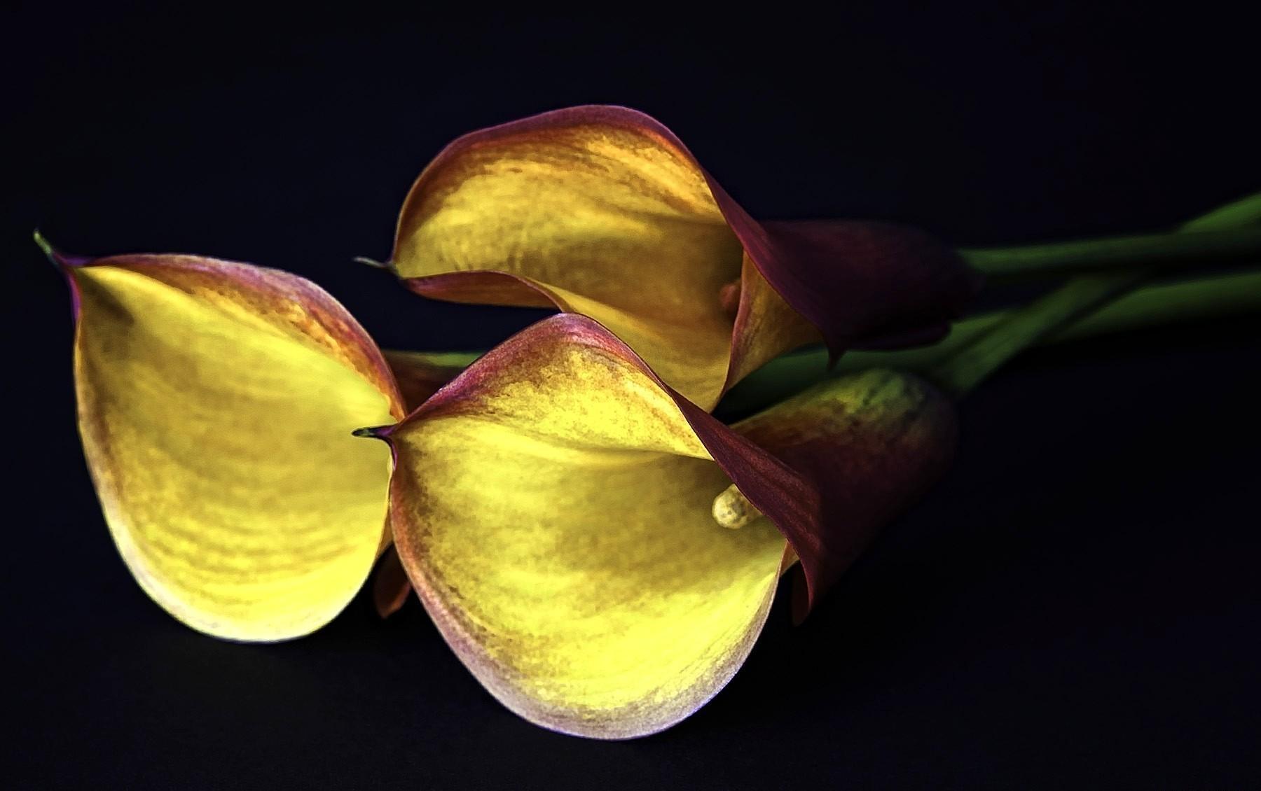 127259 Hintergrundbild herunterladen Blumen, Schwarzer Hintergrund, Calla, Callas, Drei - Bildschirmschoner und Bilder kostenlos