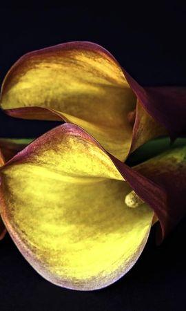 127259 скачать Желтые обои на телефон бесплатно, Цветы, Каллы, Три, Черный Фон Желтые картинки и заставки на мобильный