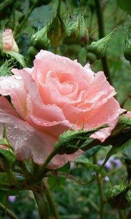 10152 скачать обои Растения, Цветы, Розы - заставки и картинки бесплатно