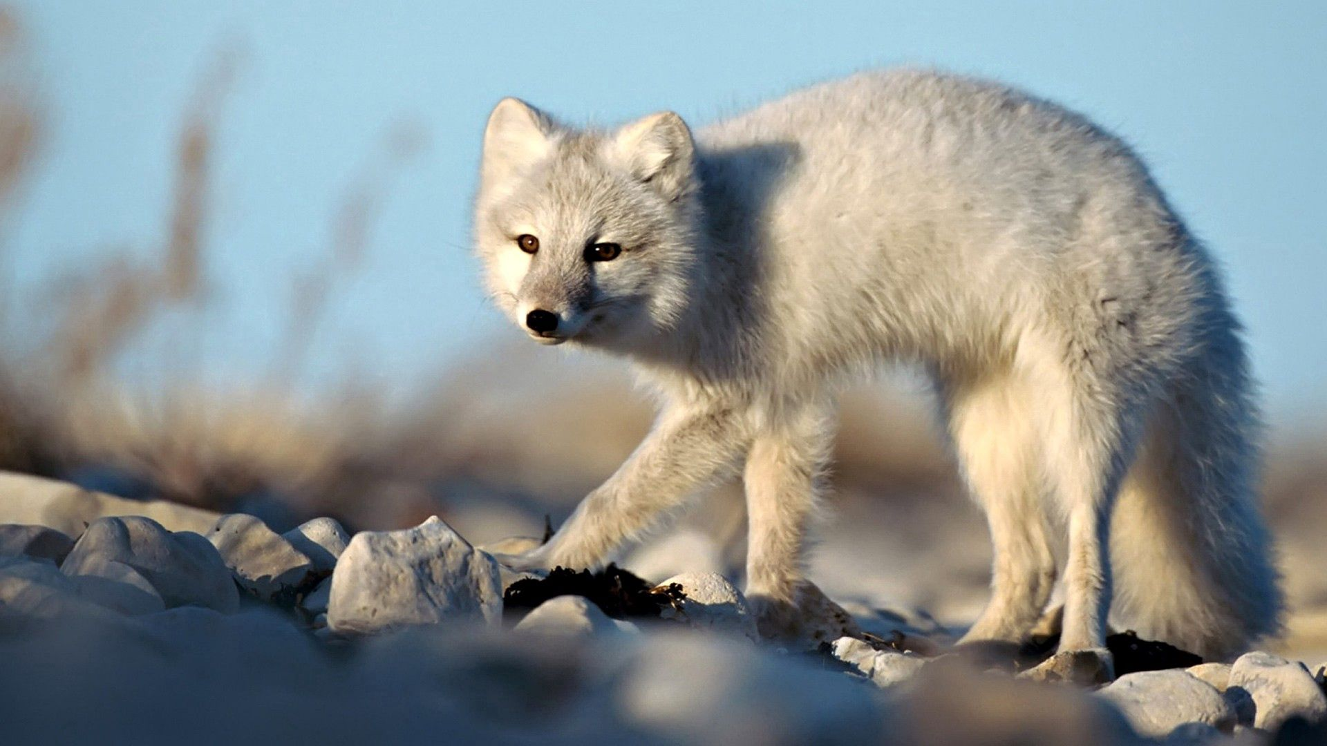 95332 download wallpaper Animals, Arctic Fox, Color, Funky, Frightened, Stones screensavers and pictures for free