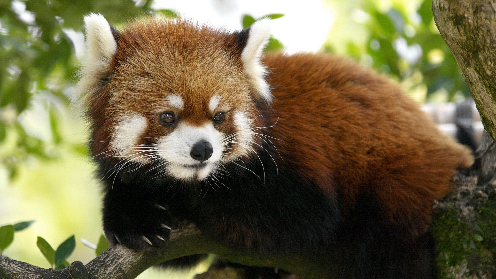 25926 download wallpaper Animals, Pandas screensavers and pictures for free