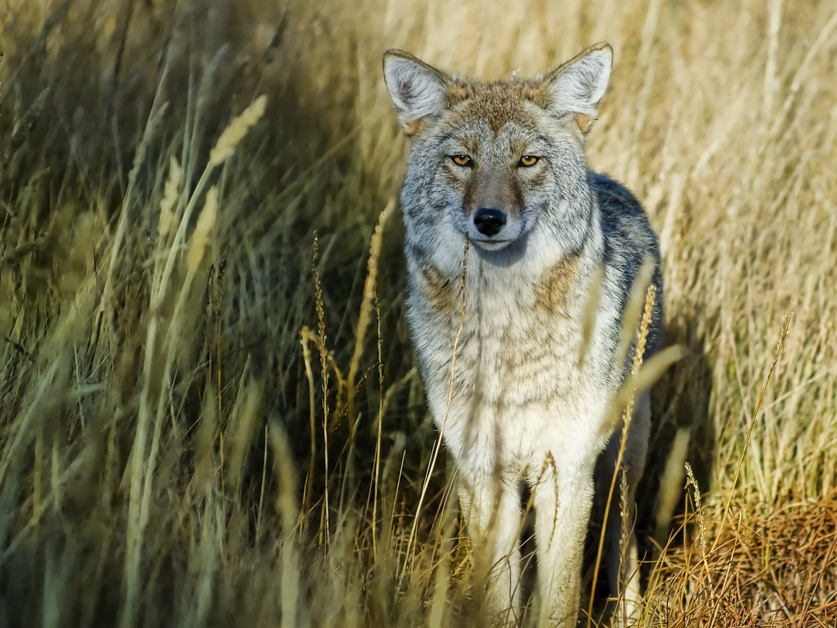 135255 download wallpaper Animals, Grass, Wolf, Predator, Hunting, Hunt screensavers and pictures for free