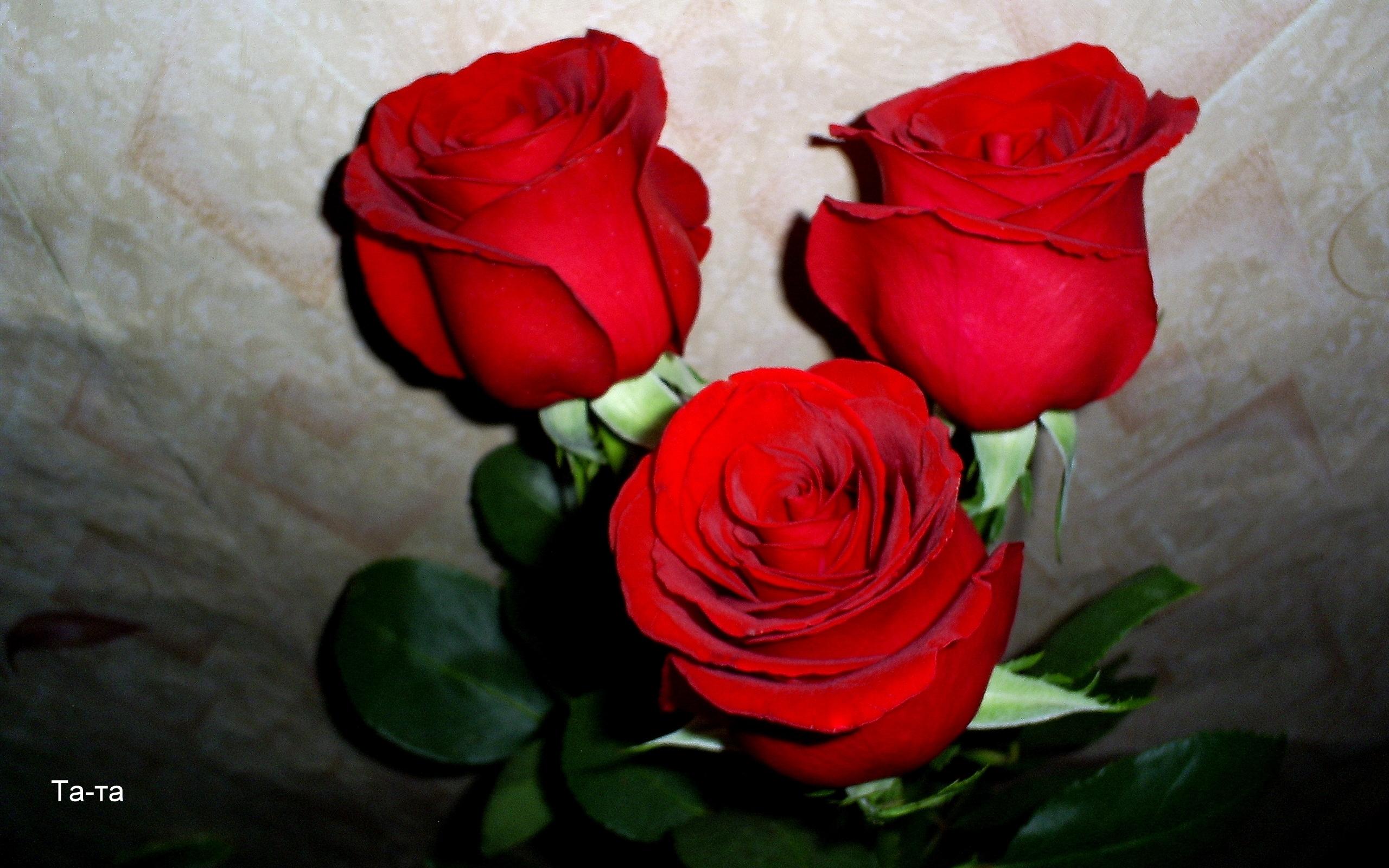 572 скачать обои Растения, Цветы, Розы - заставки и картинки бесплатно