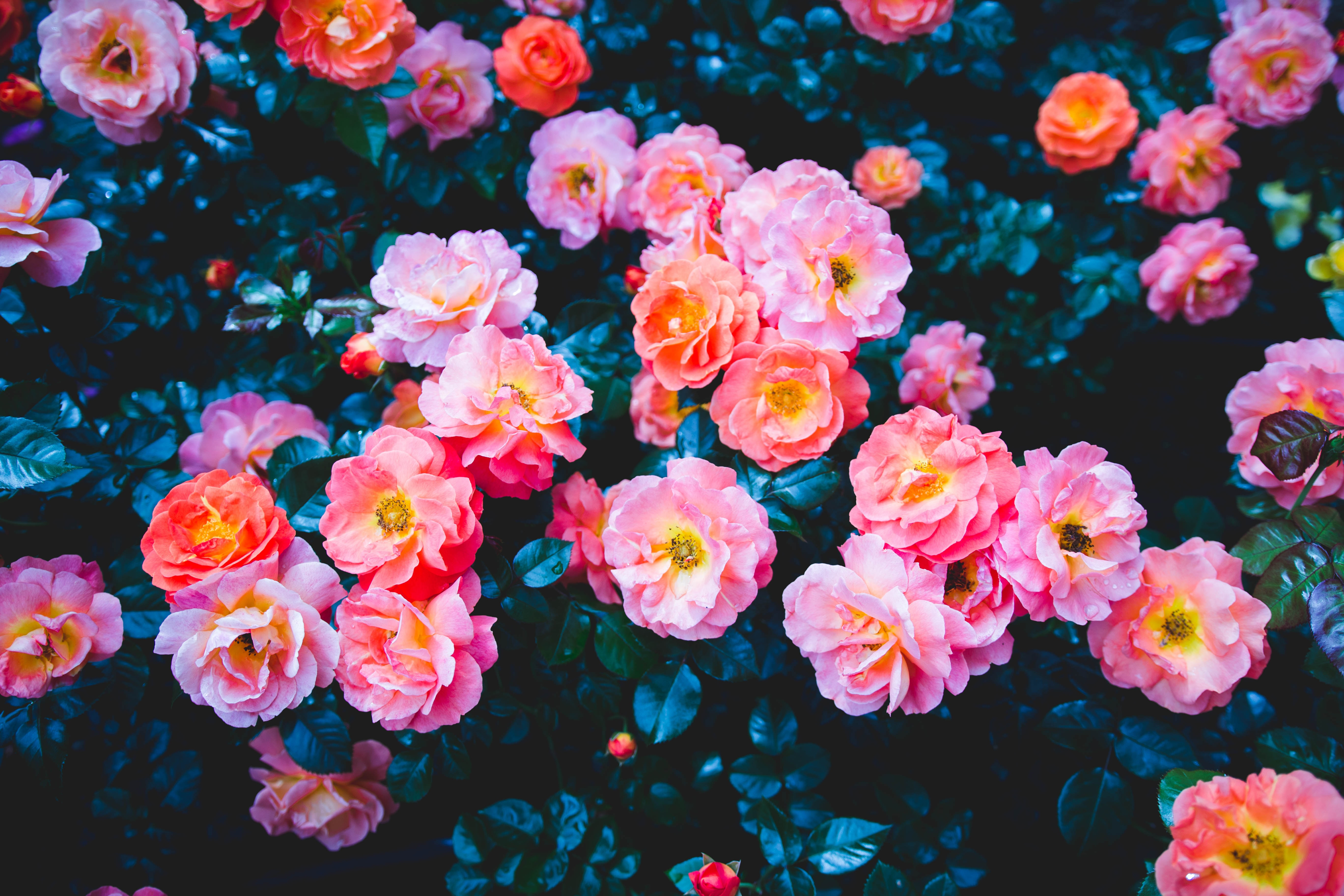 124151 download wallpaper Flowers, Pink, Bloom, Flowering, Bush, Roses screensavers and pictures for free
