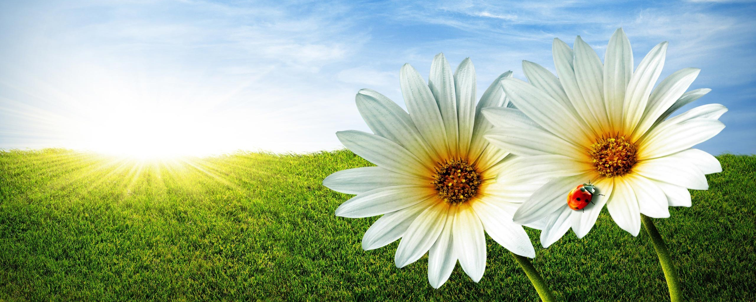 31816 download wallpaper Flowers, Background, Ladybugs screensavers and pictures for free