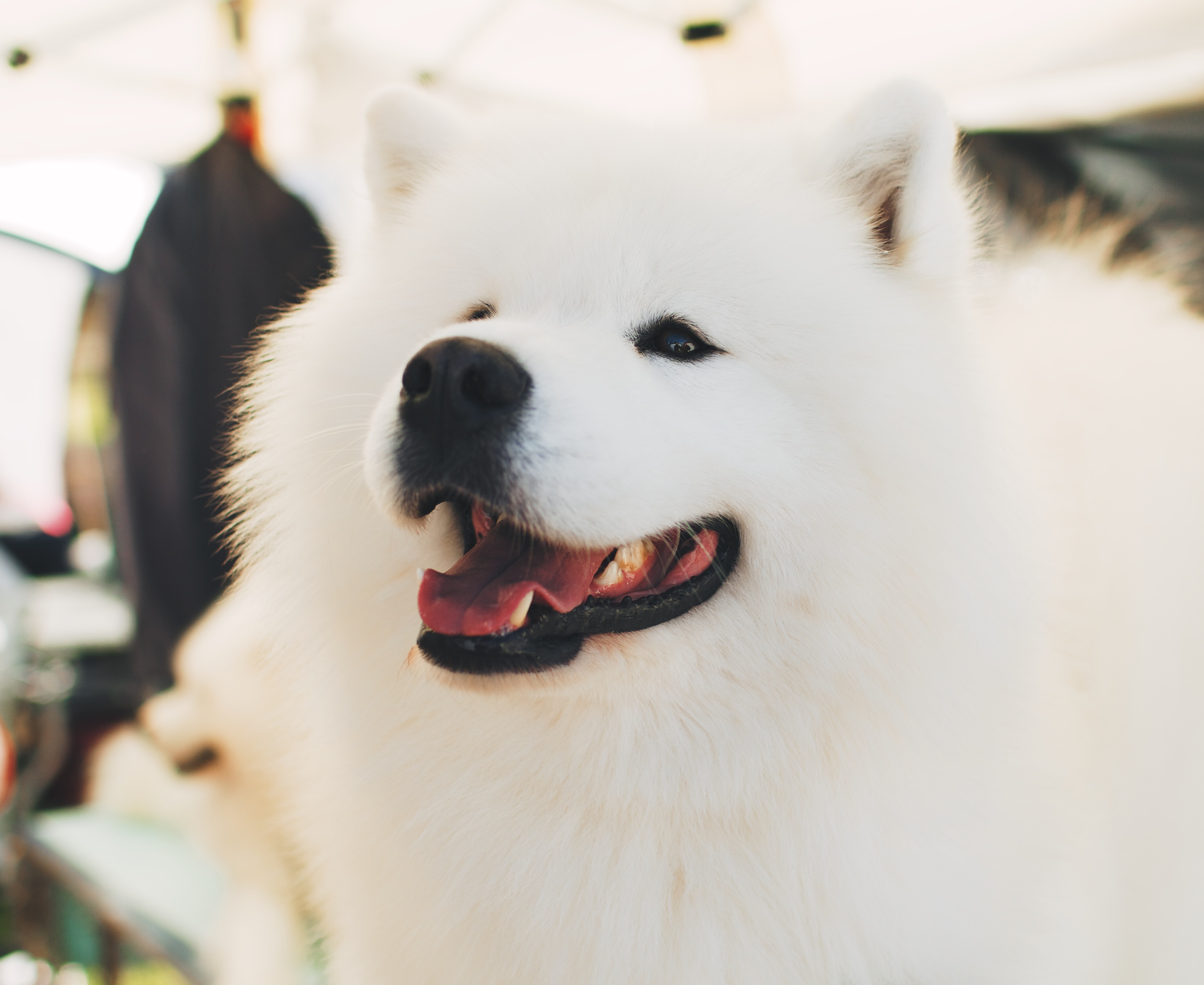 68888 Screensavers and Wallpapers Nice for phone. Download Animals, Fluffy, Nice, Sweetheart, Samoyed Dog, Dog Of The Year pictures for free
