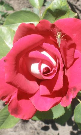 8032 скачать обои Растения, Цветы, Розы - заставки и картинки бесплатно